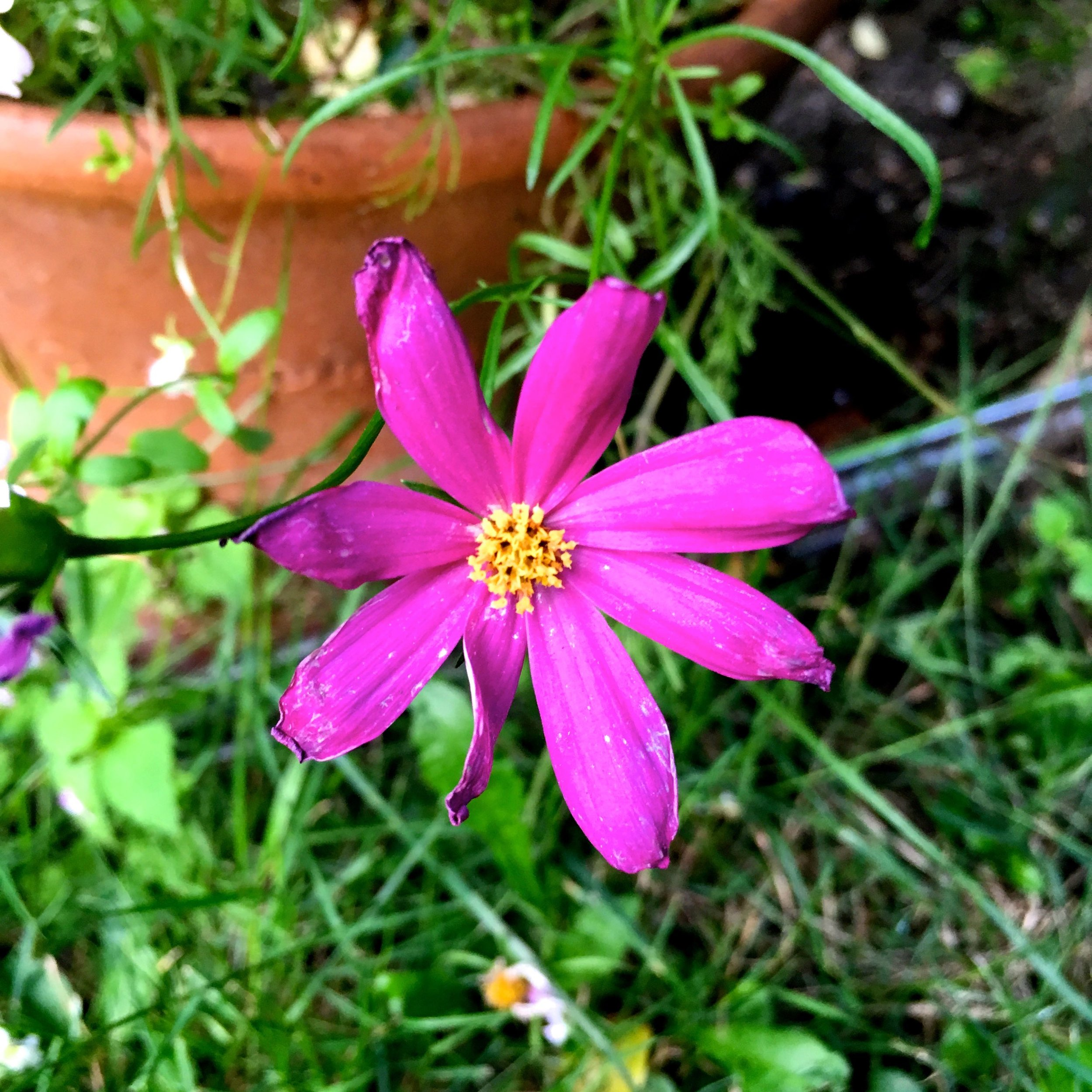 COSMOS GROWN FROM SEED