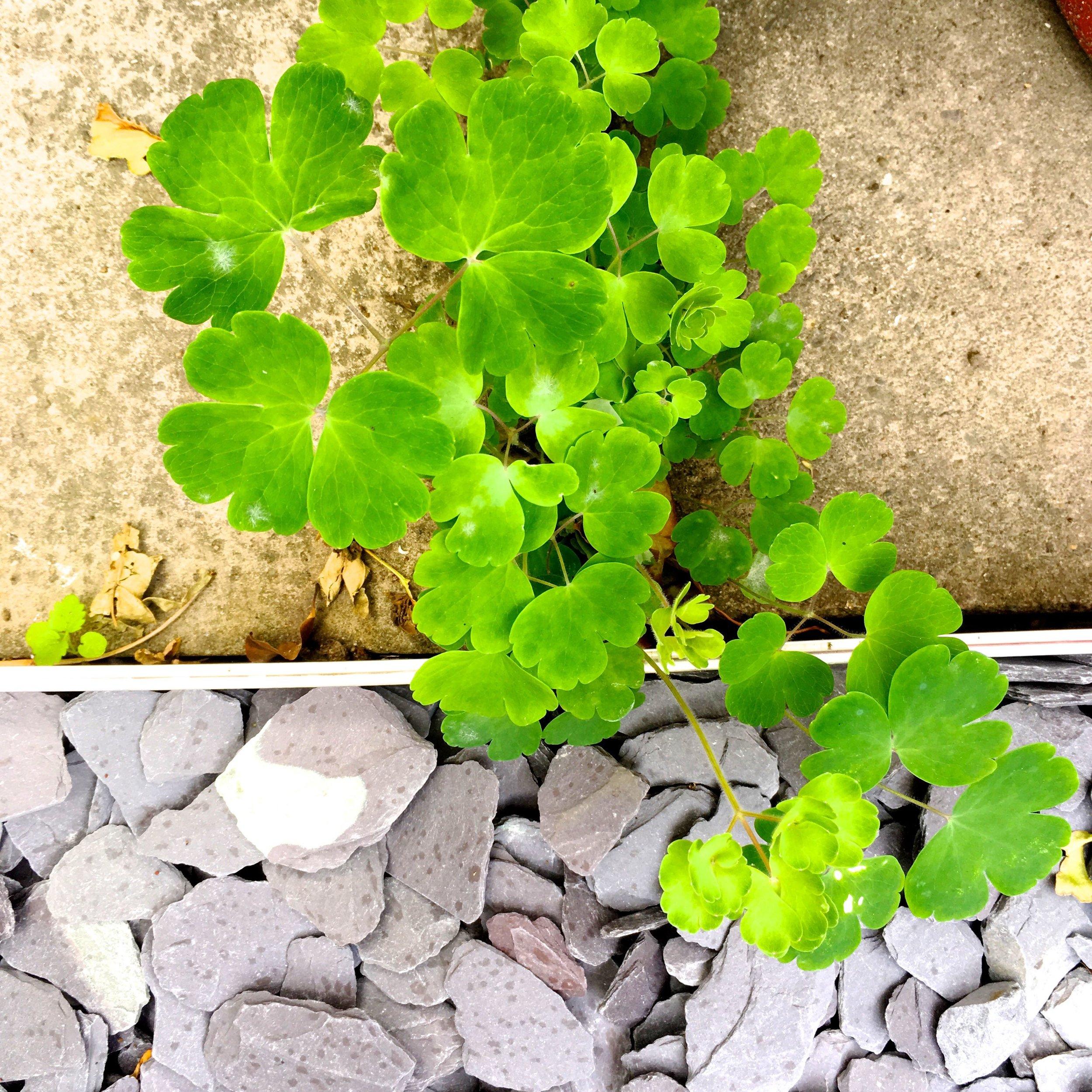 self-seeded aquilegias looking very comfortable