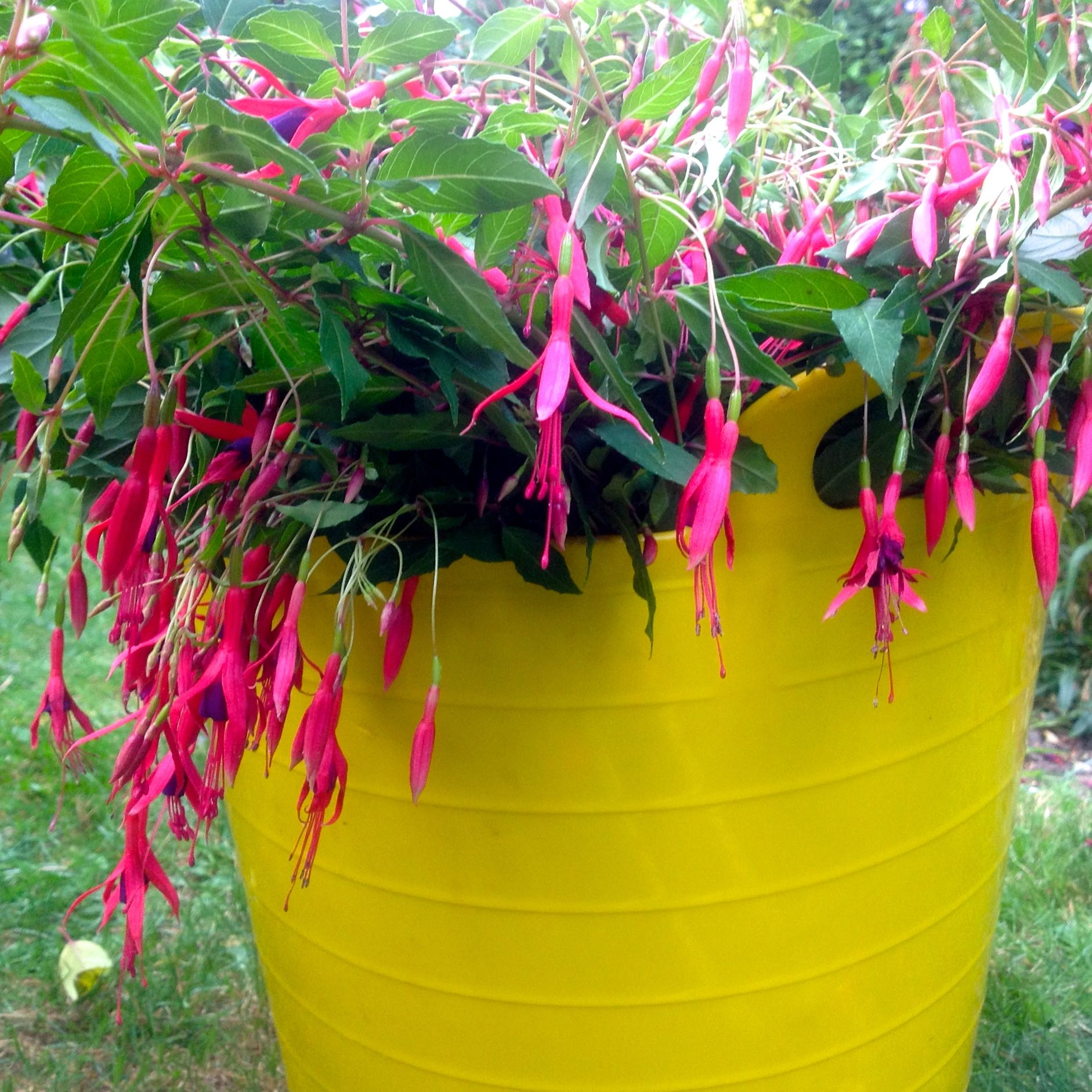 Trimming the hardy fuchsia bush