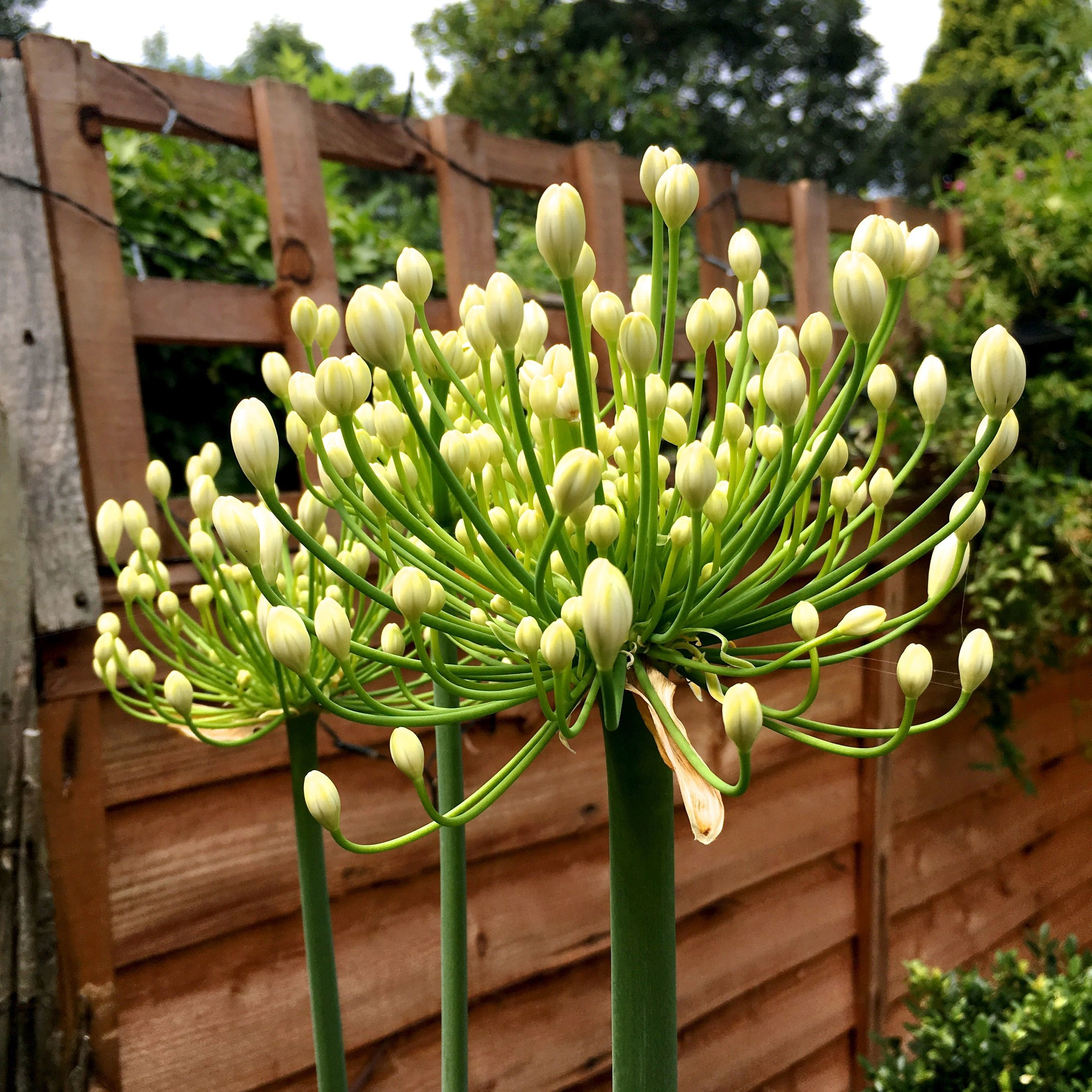 Agapanthus starting to flower