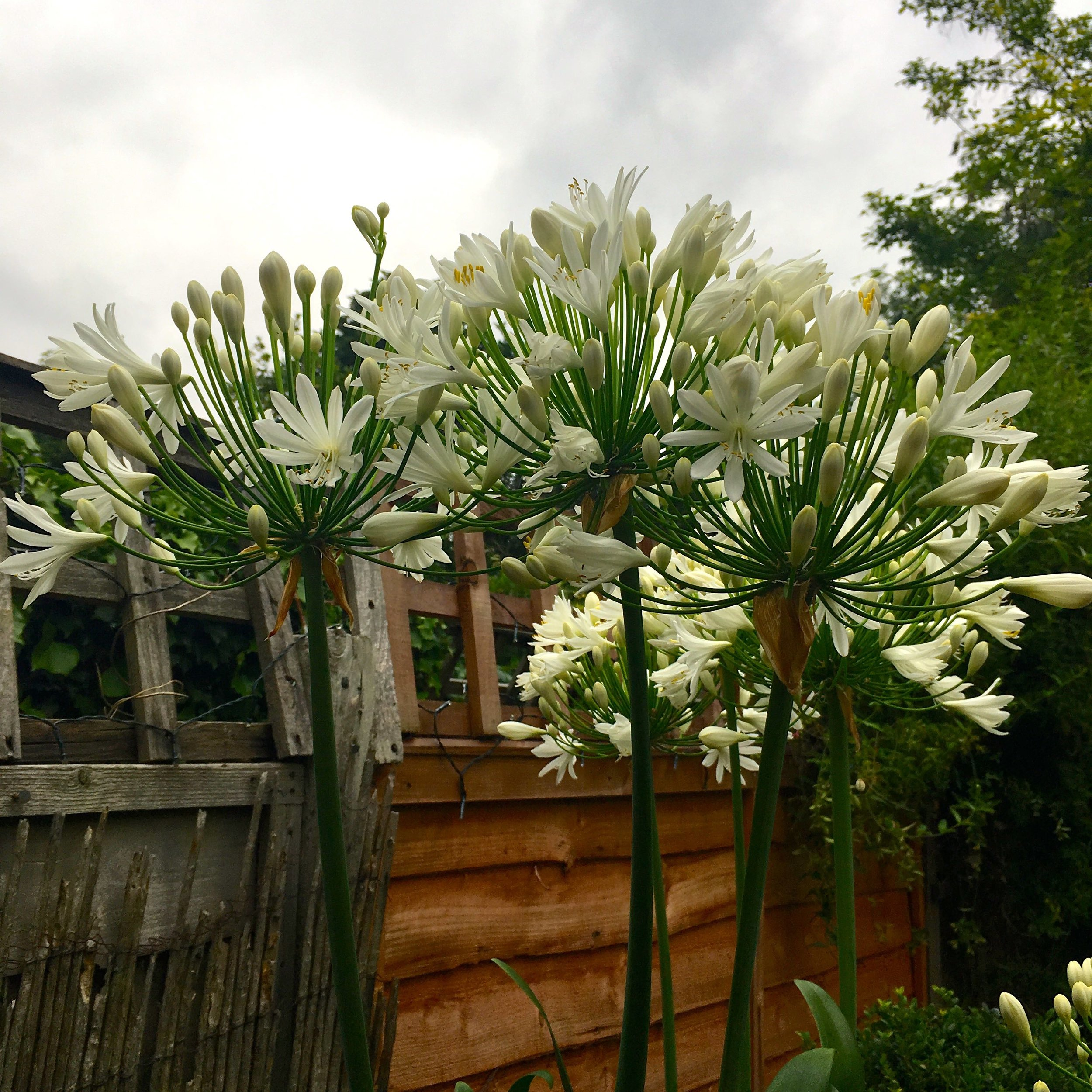 agapanthus with the flowers starting to open