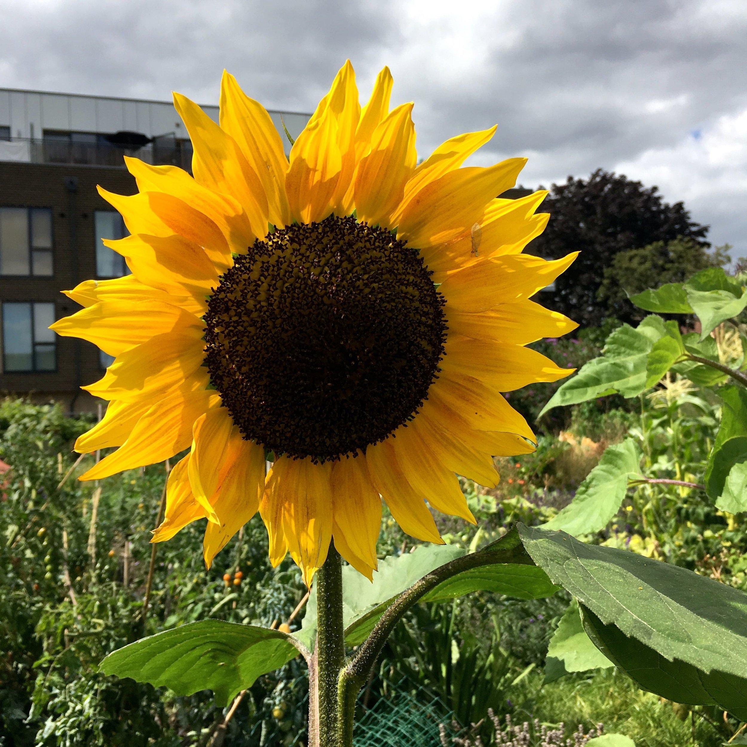 A sunflower finally during National Allotment Week