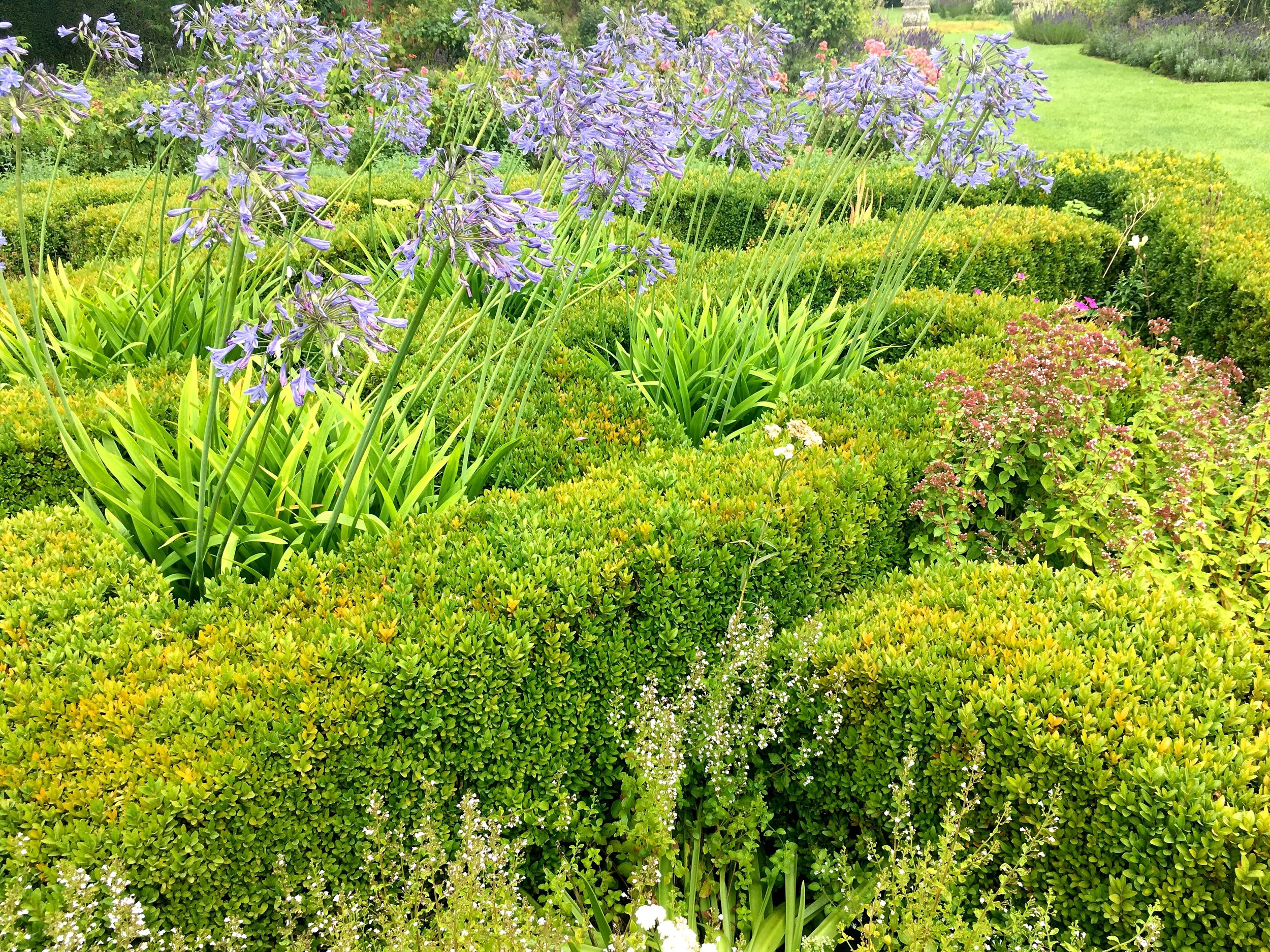 agapanthus in the knots in the knot garden at Helmington Hall