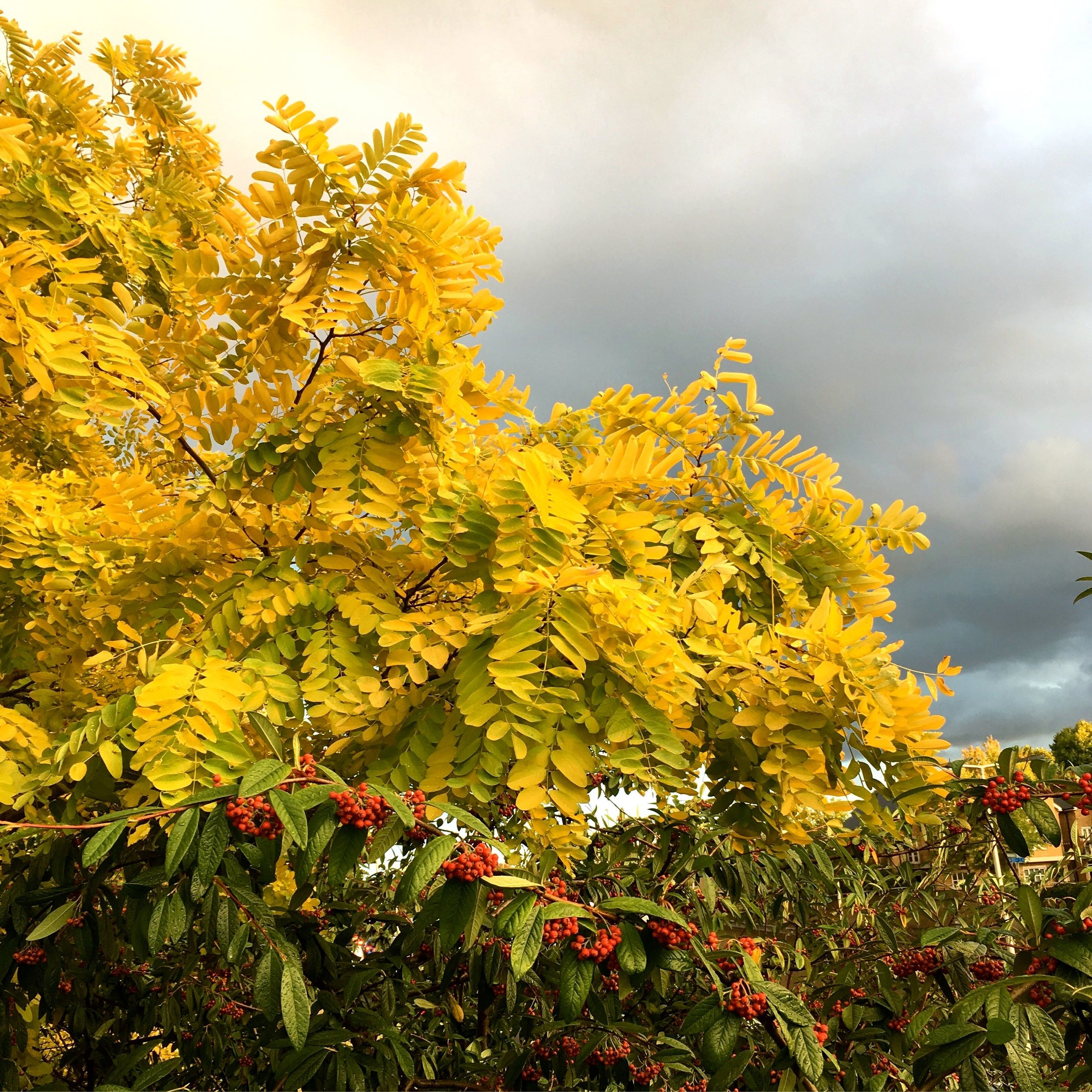 autumnal rowan leaves against a moody sky