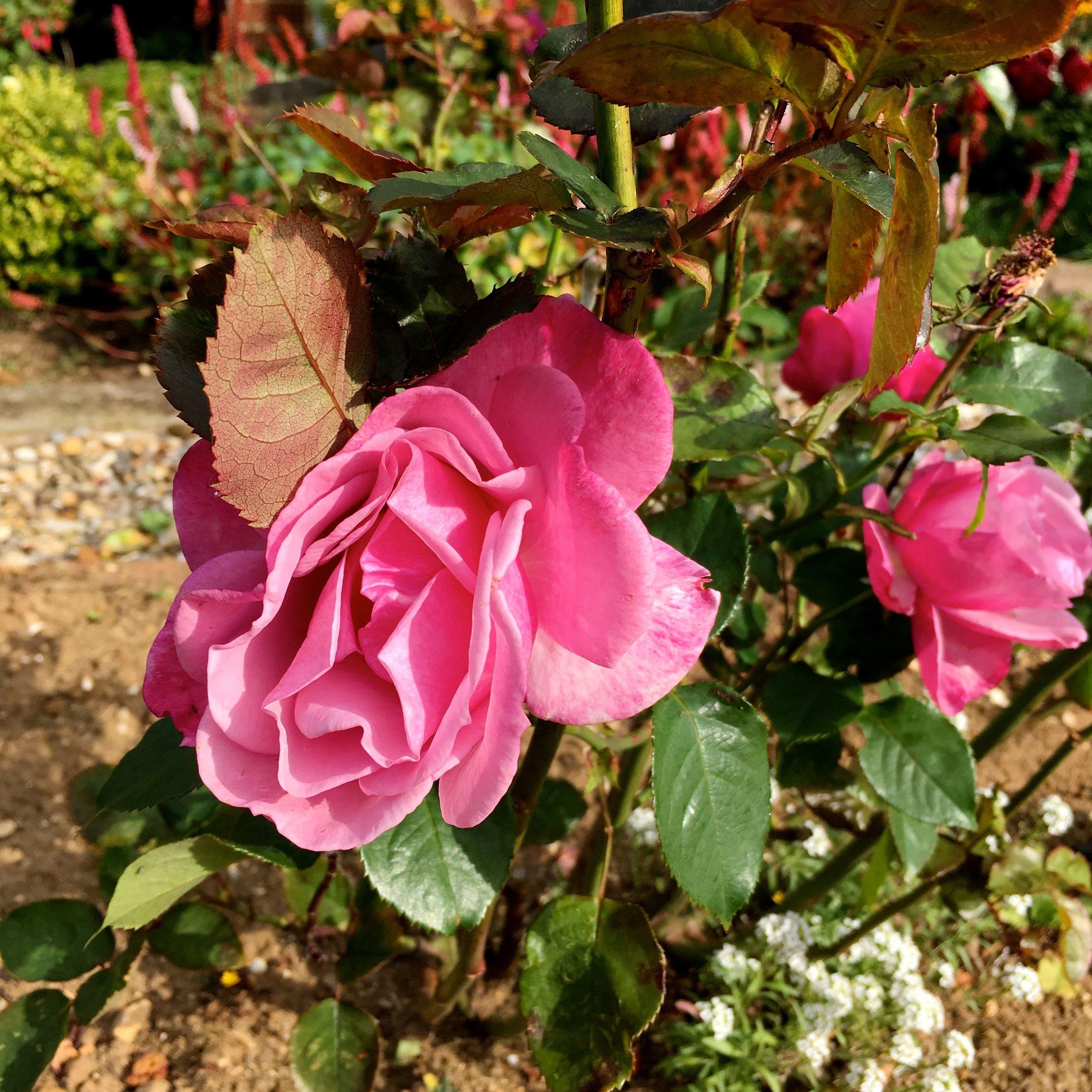 Roses in full flower in dad's norfolk garden