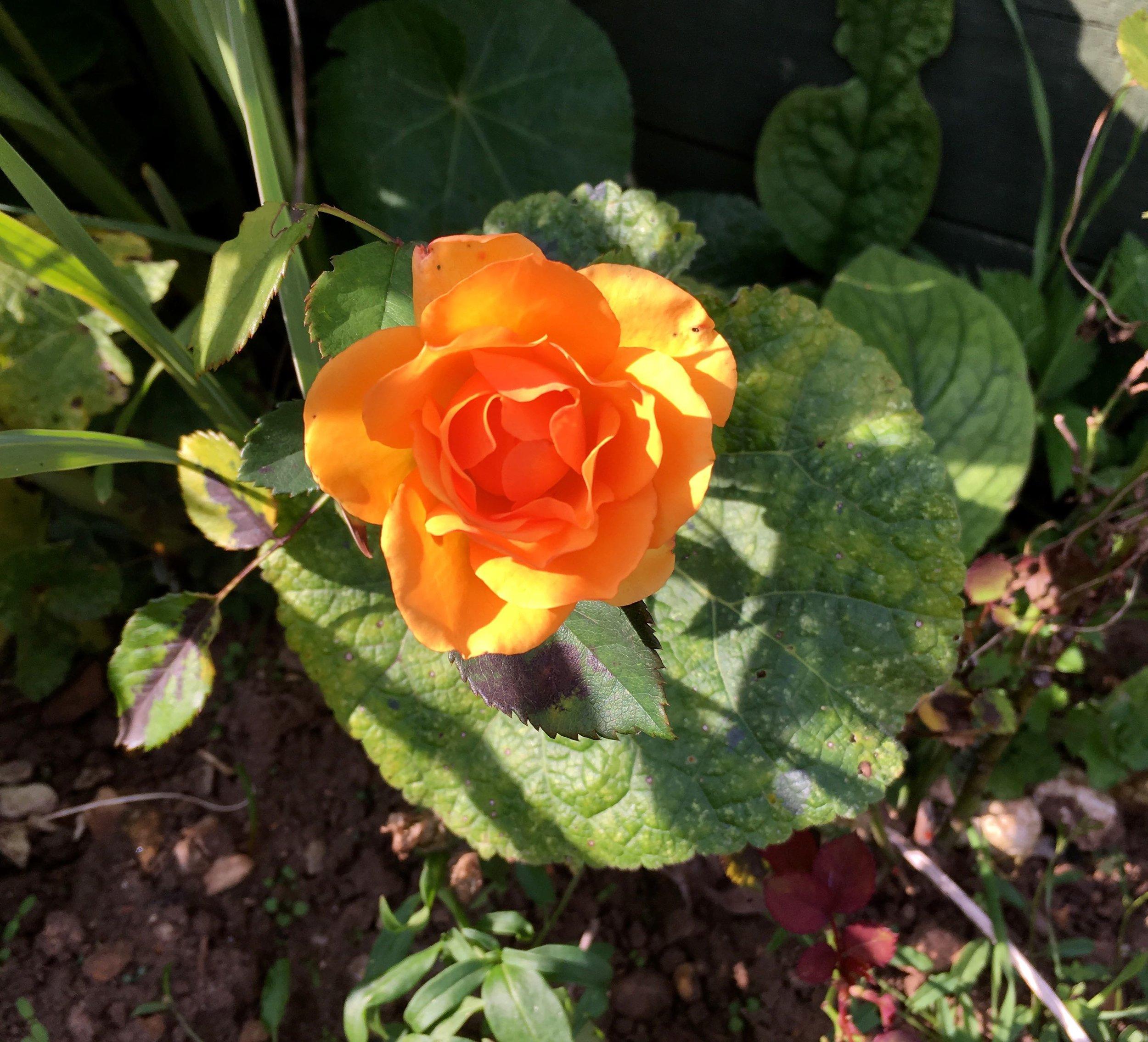 a small orange rose looking stunning in dad's norfolk garden
