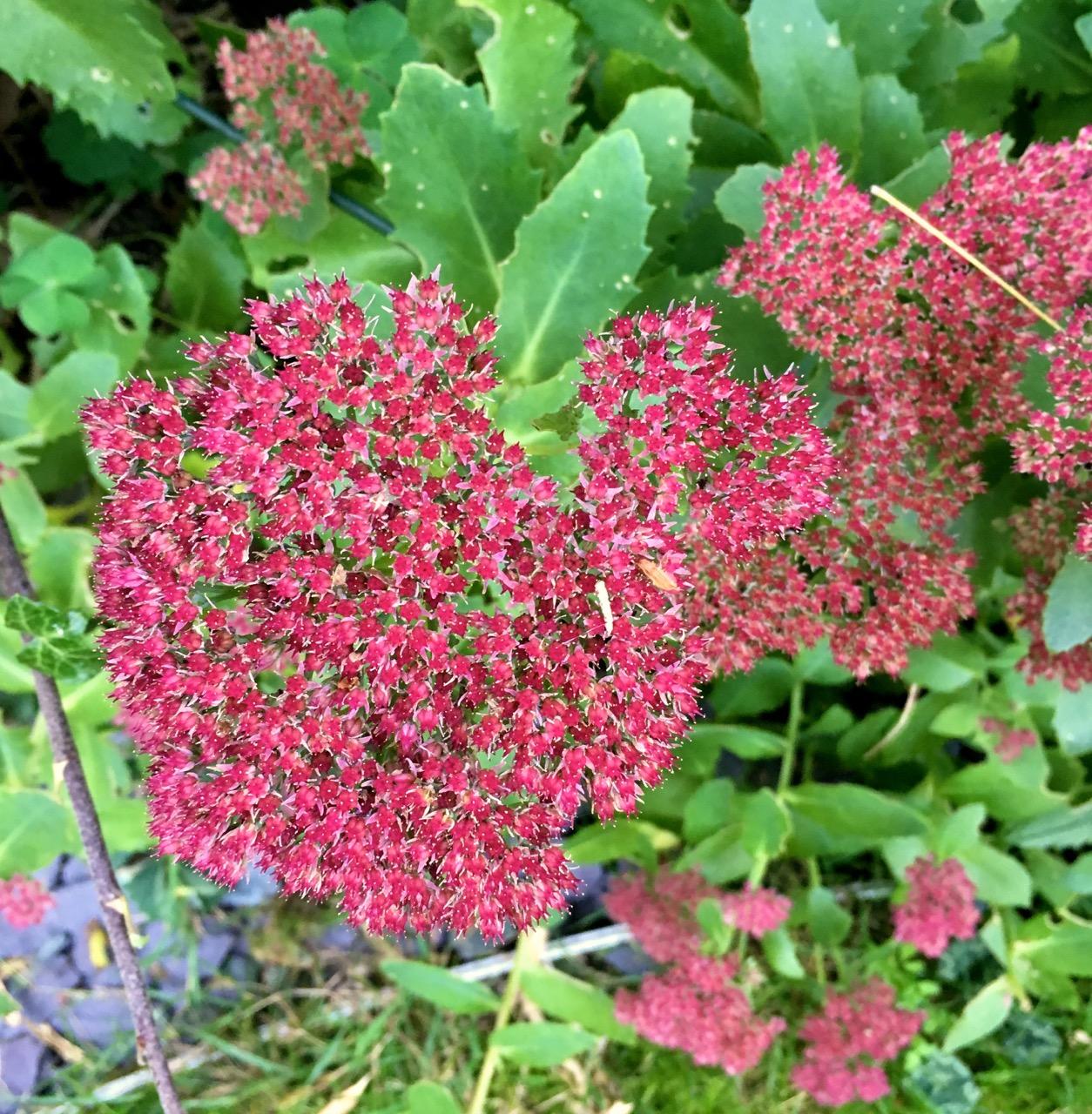 autumnal colours of the sedum