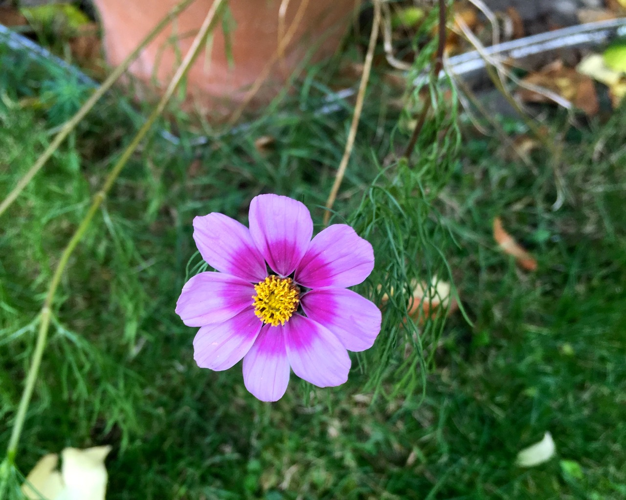 the cosmos continues to flower