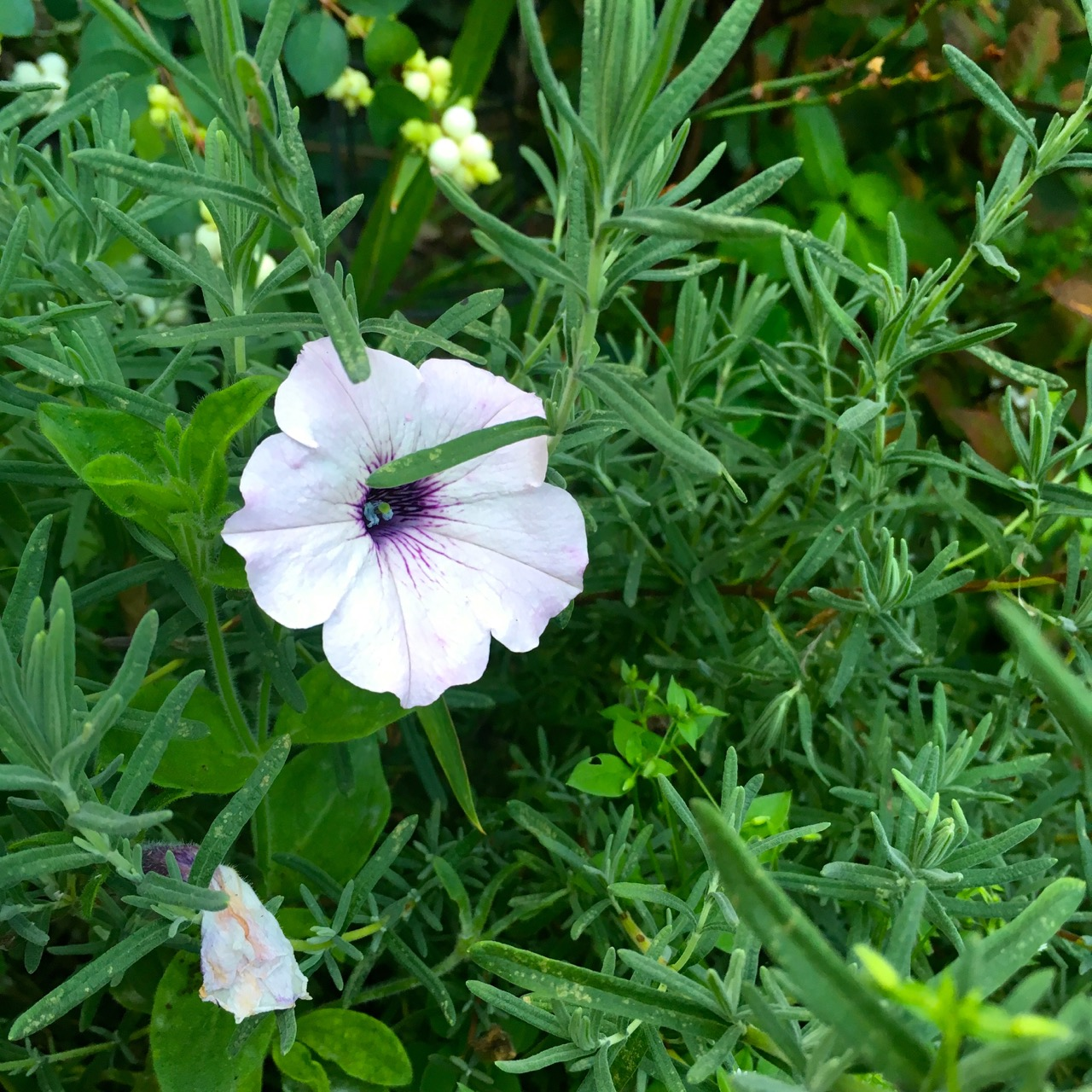 petunias nestled in the french lavender