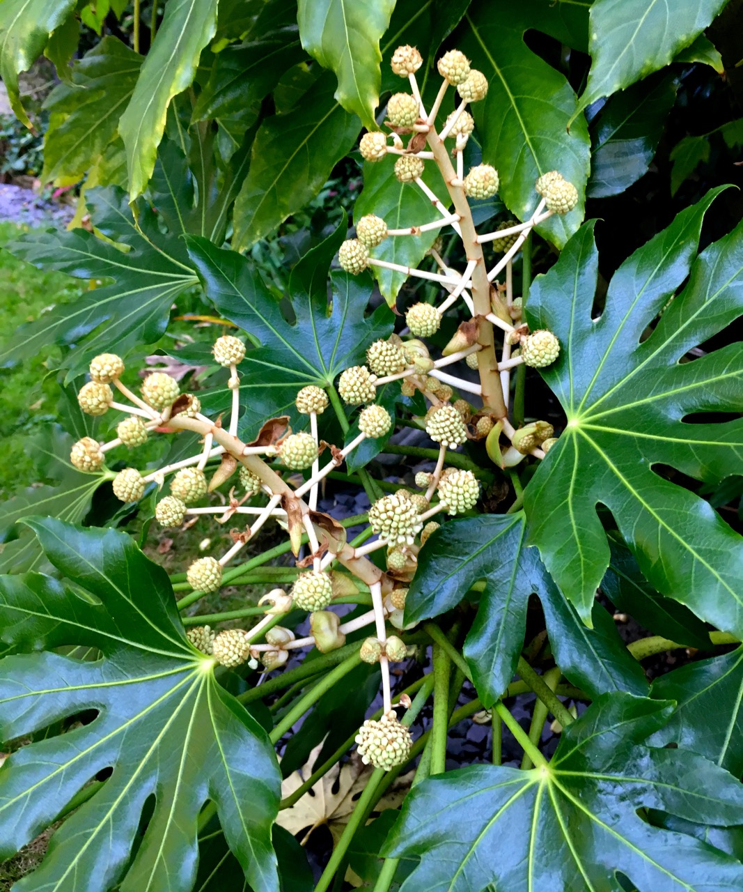 """the fatsia is starting to """"flower"""""""