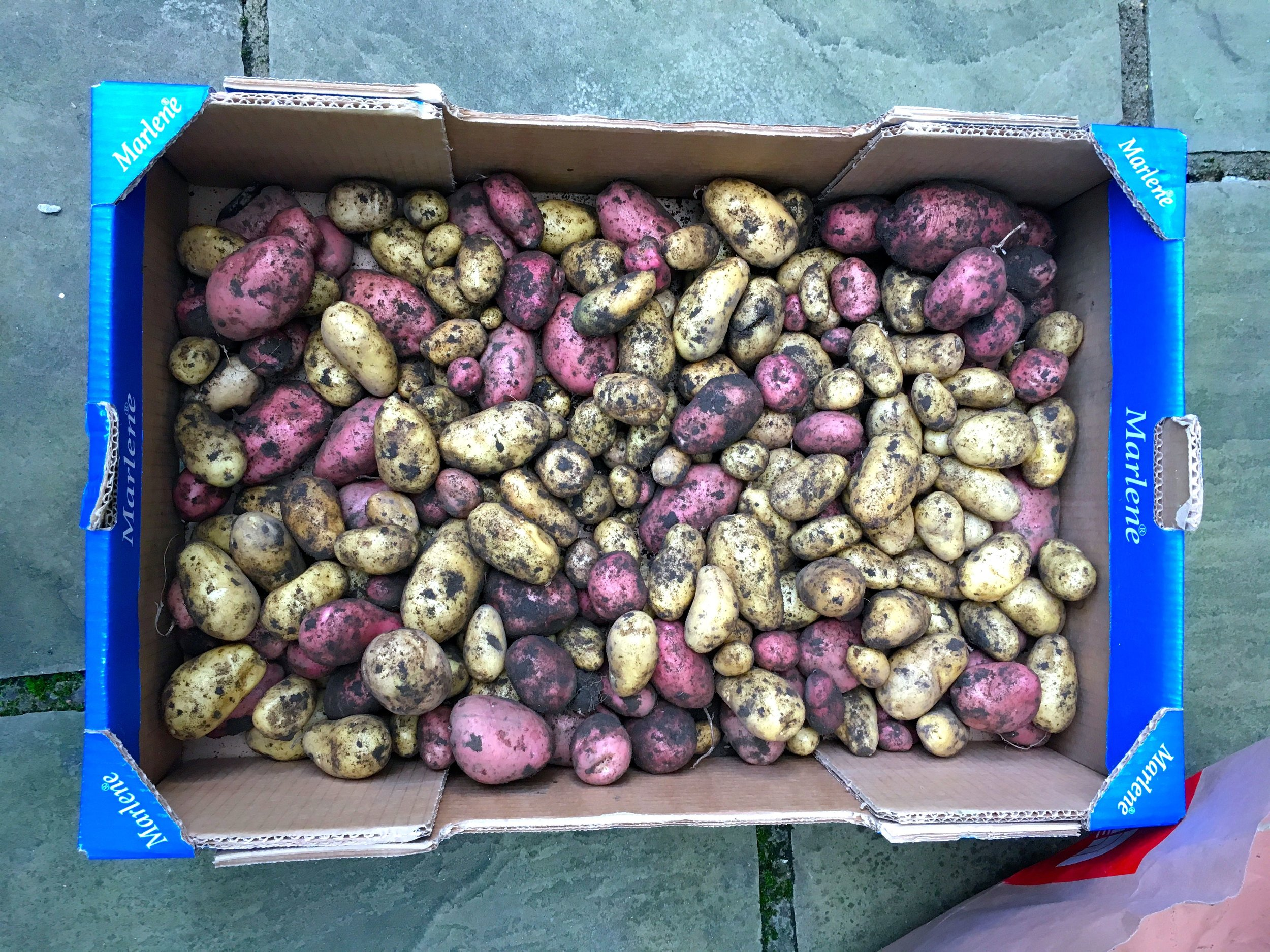 Back home I checked the potatoes again