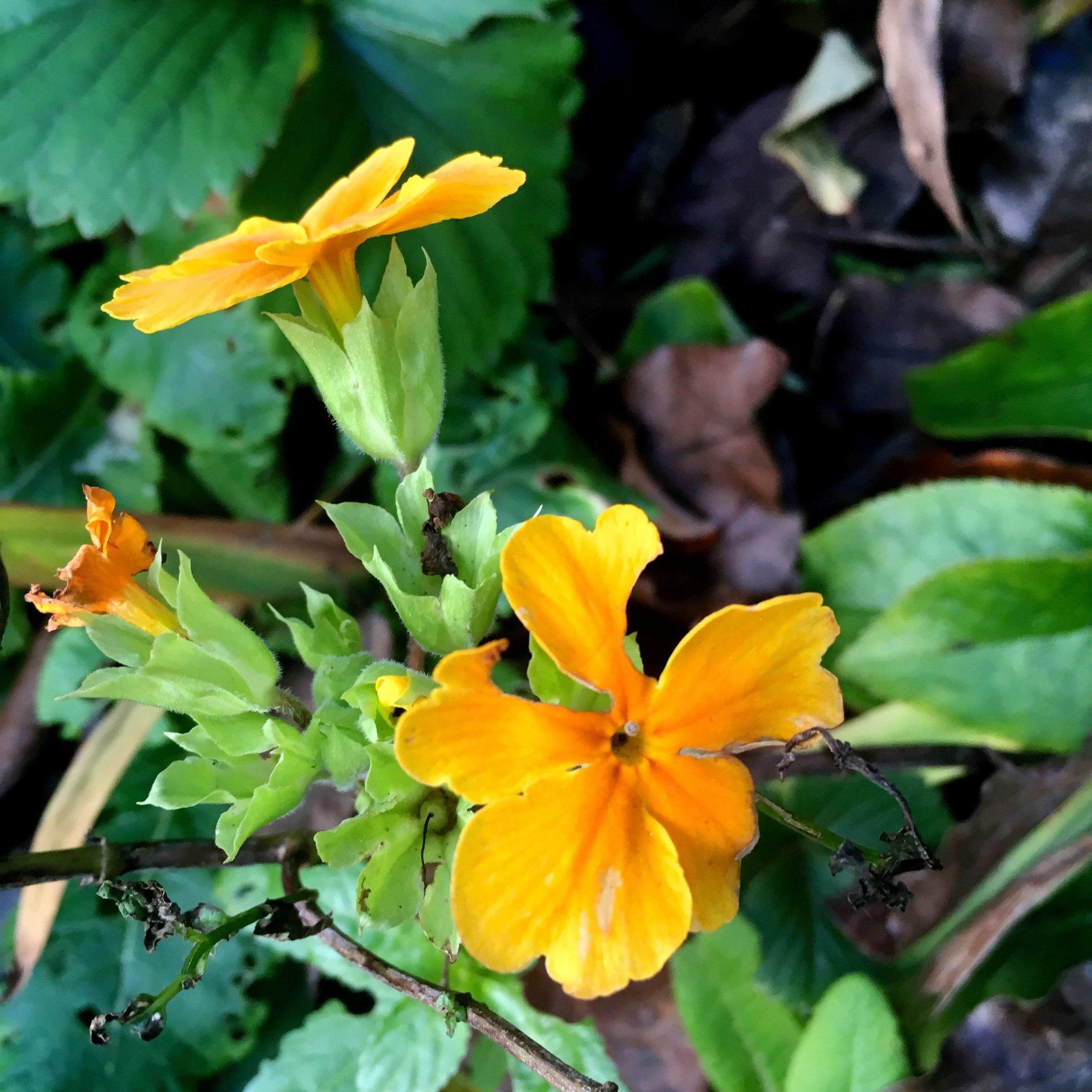 yellow primroses in flower again