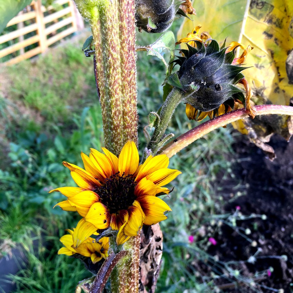 TINY SUNFLOWERS ON A VERY THICK STEM