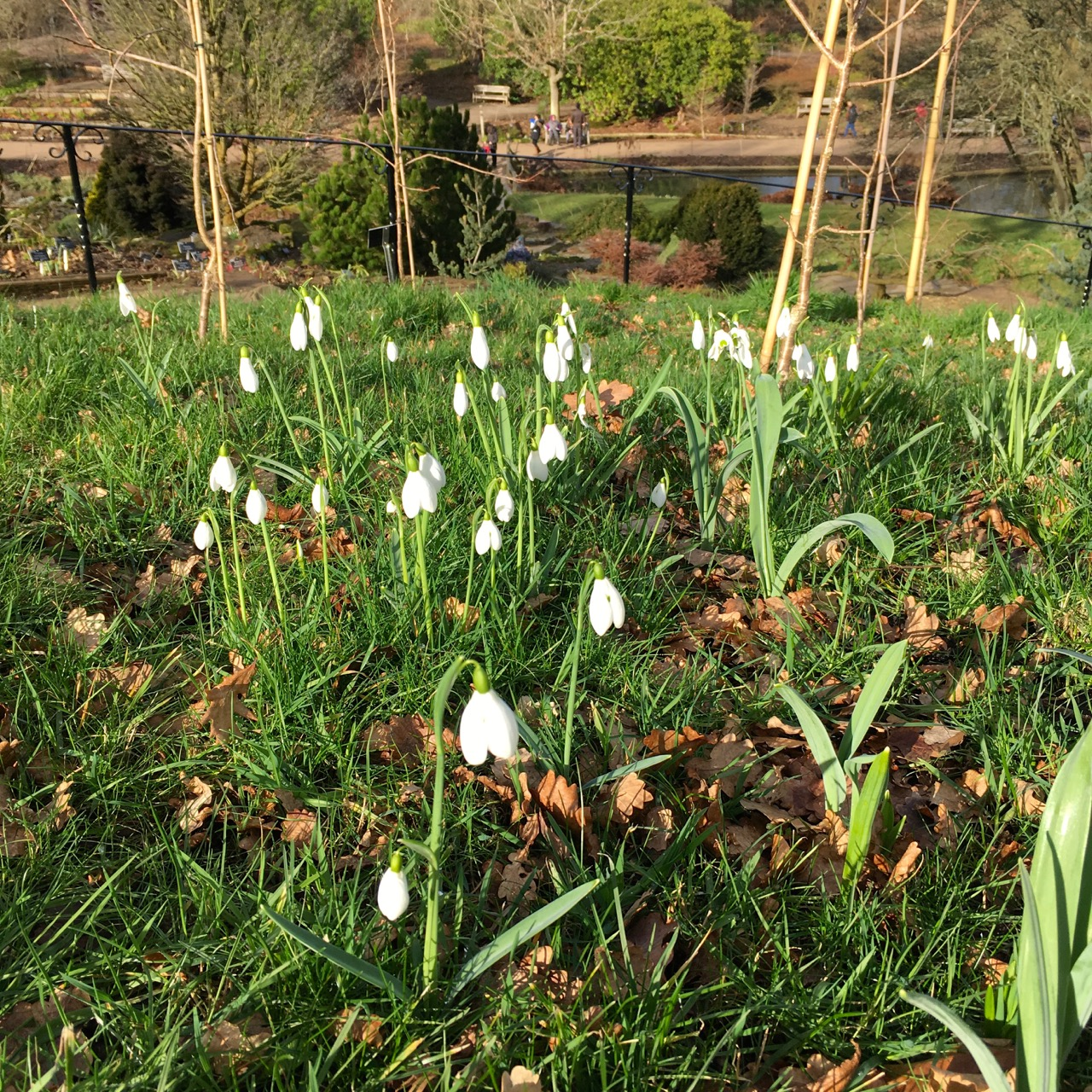 SNOWDROPS AT WISLEY
