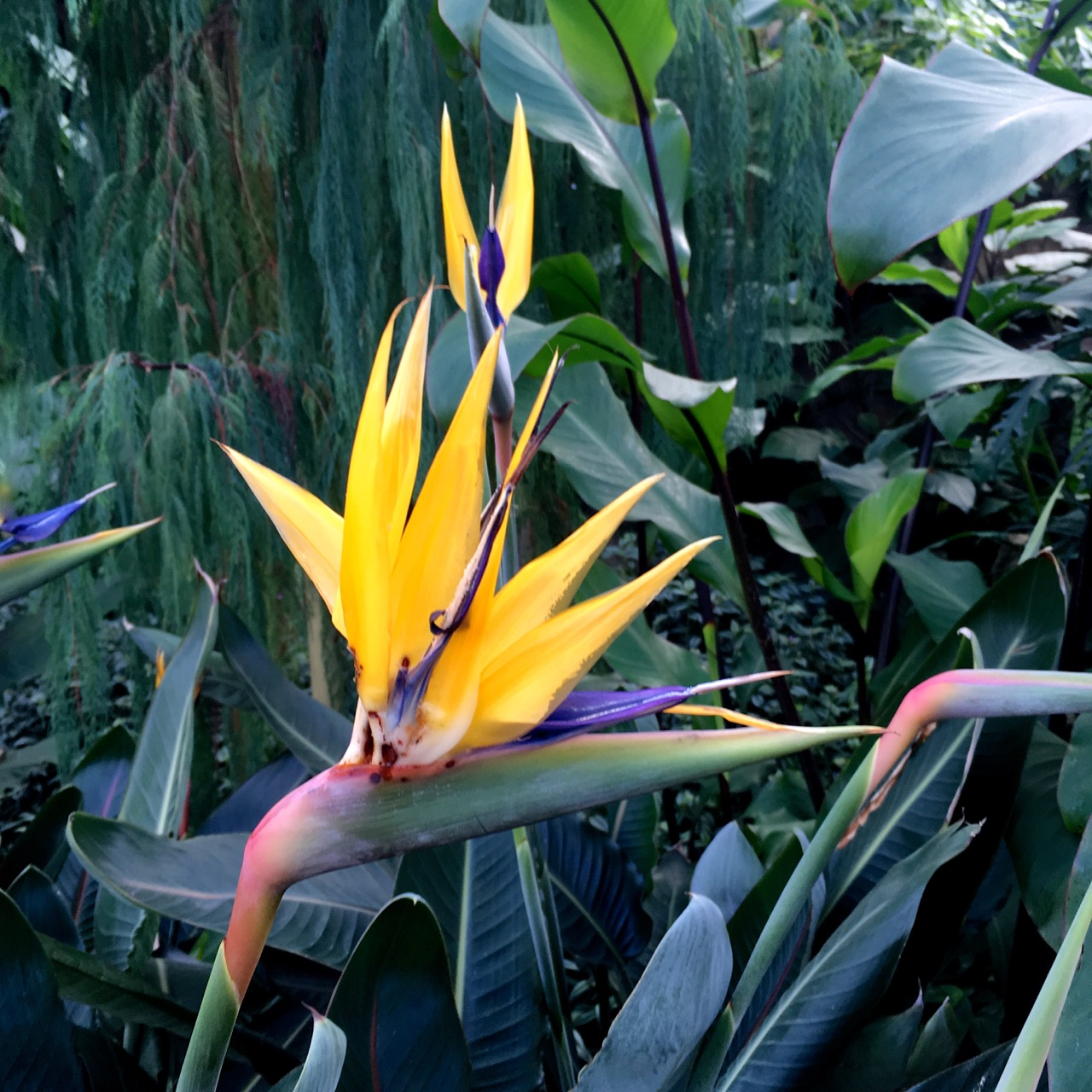A yellow bird of paradise in the glasshouse at RHS Wisley