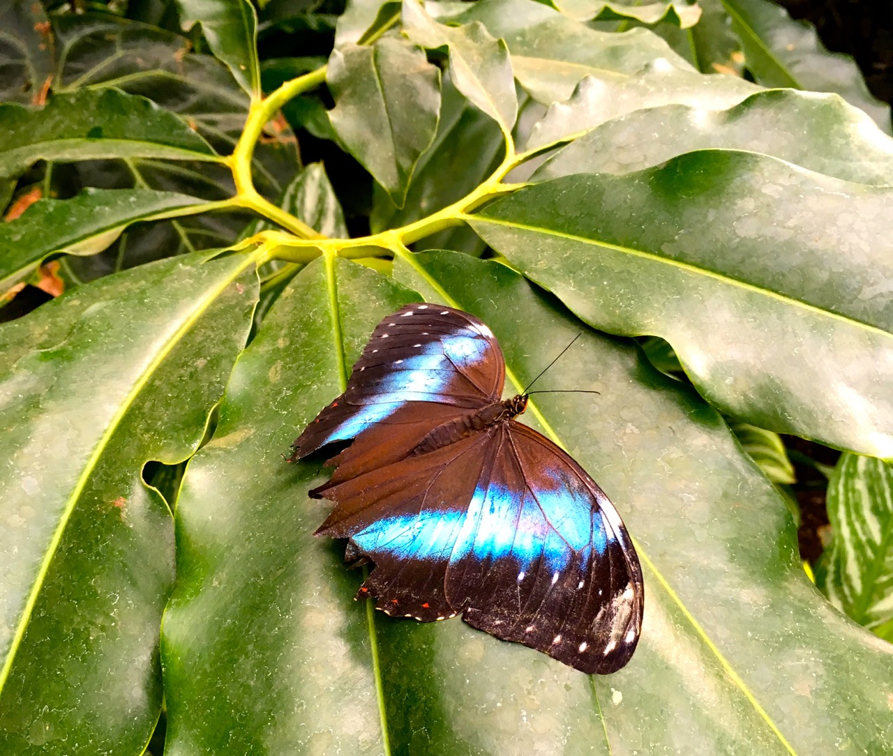 A hint of blue on the wings of this butterfly in the glasshouse at RHS Wisley