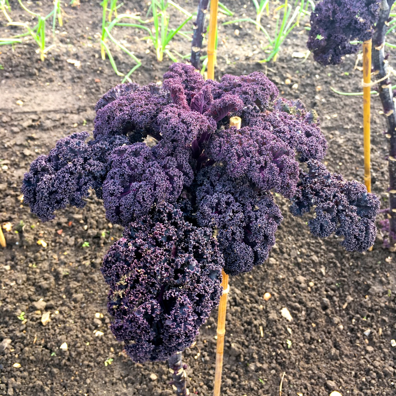 purple kale in the vegetable garden at RHS Wisley