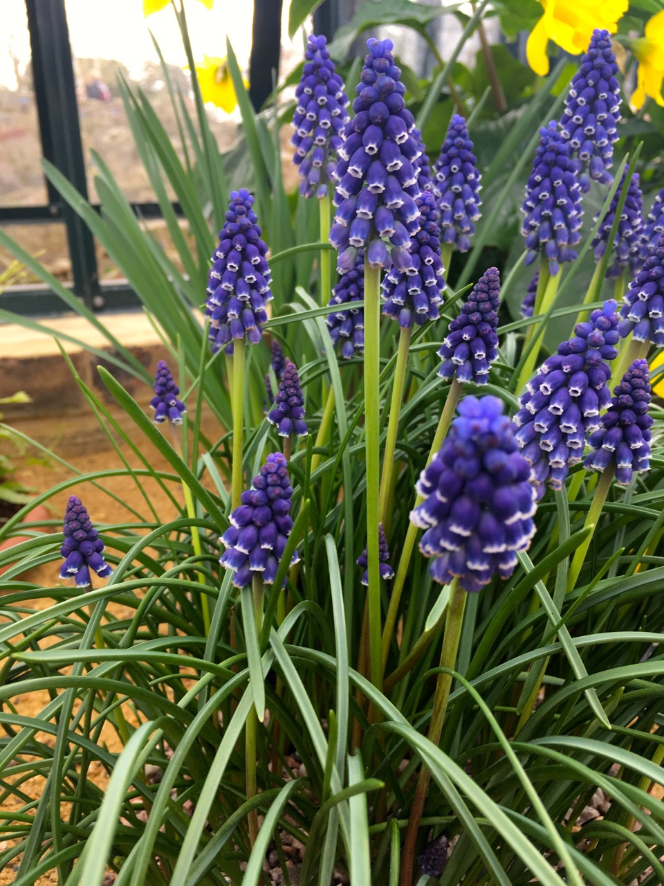 Muscari - or grape hyacinth - in the Alpine House at RHS Wisley