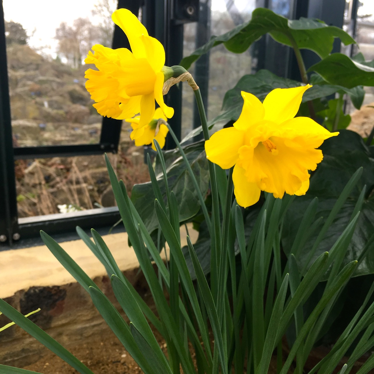 Narcissi in the Alpine House at RHS Wisley