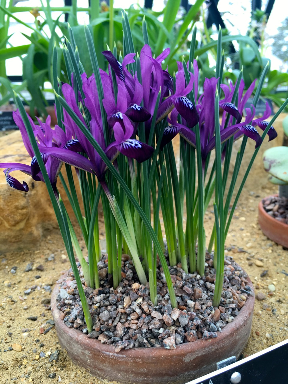 delicate irises in the Alpine House at RHS Wisley