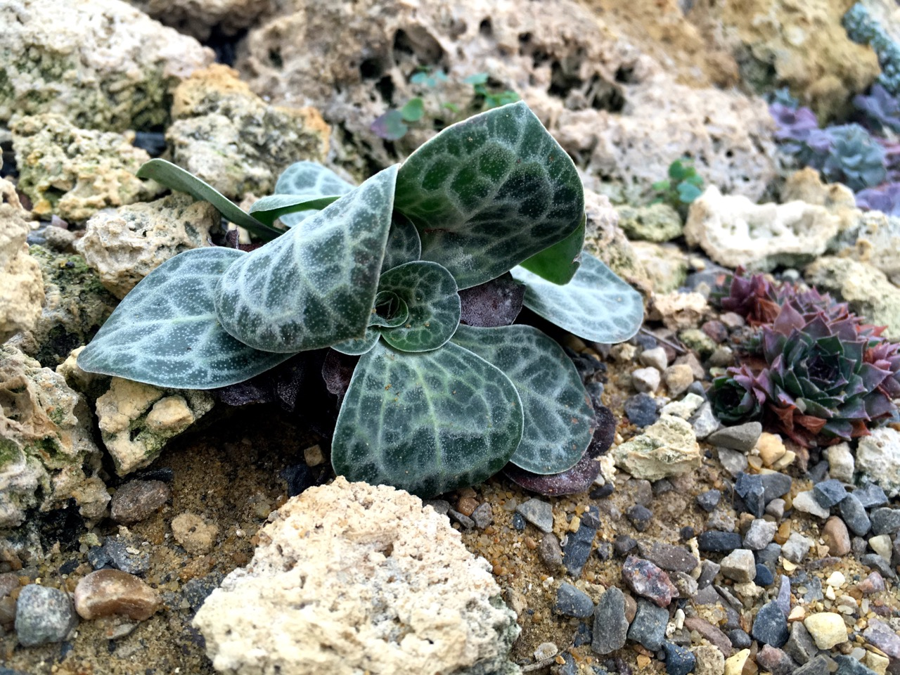 Cyclamen-like leaves in the Alpine House at RHS Wisley