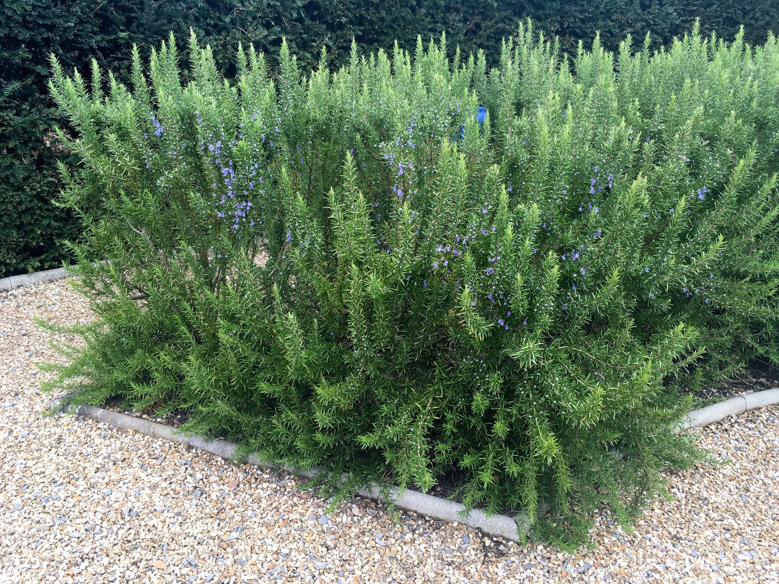 ROSEMARY USED IN SWATHES OF BEDS