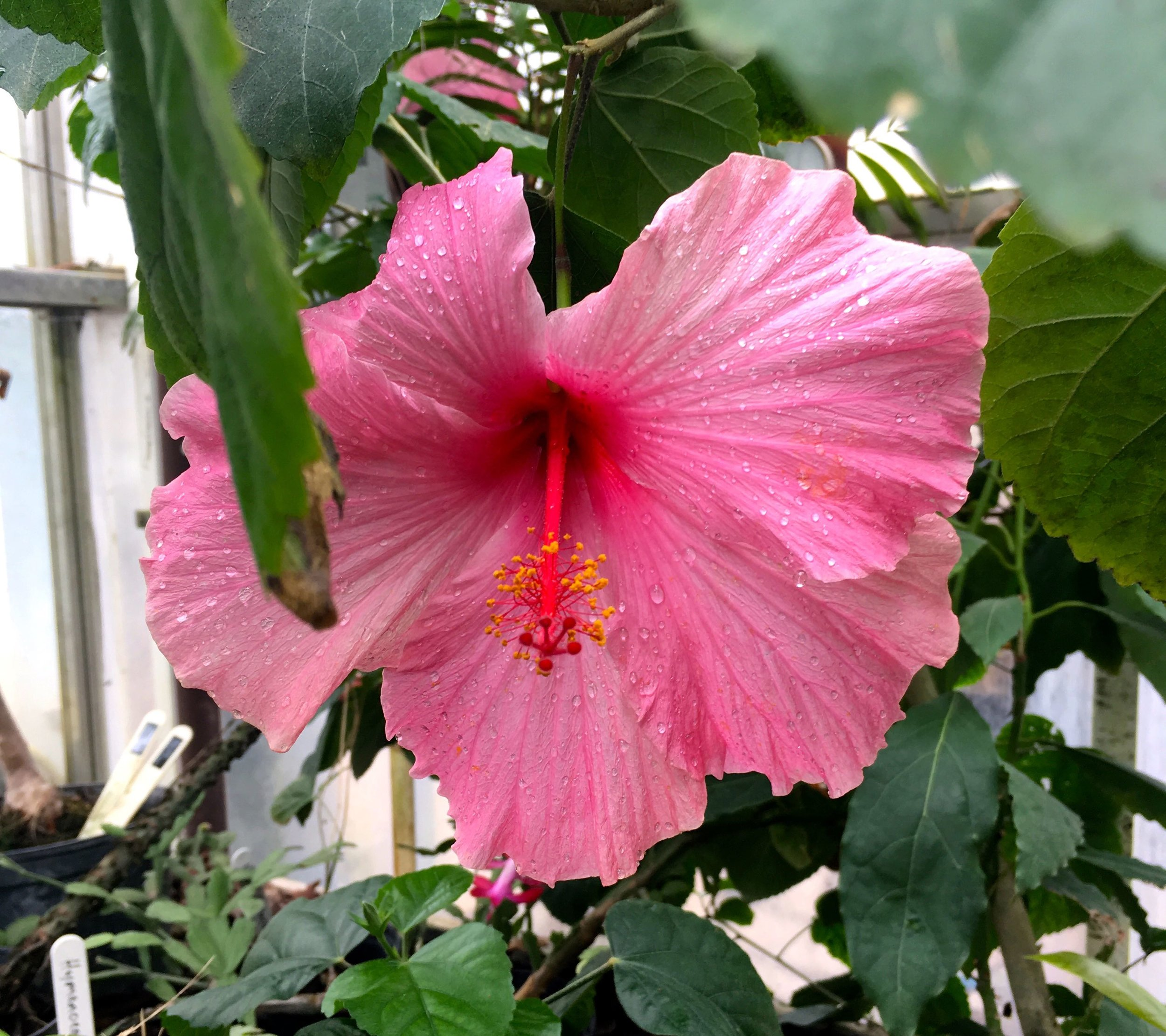 The prettiest hibiscus at Cannington in Somerset