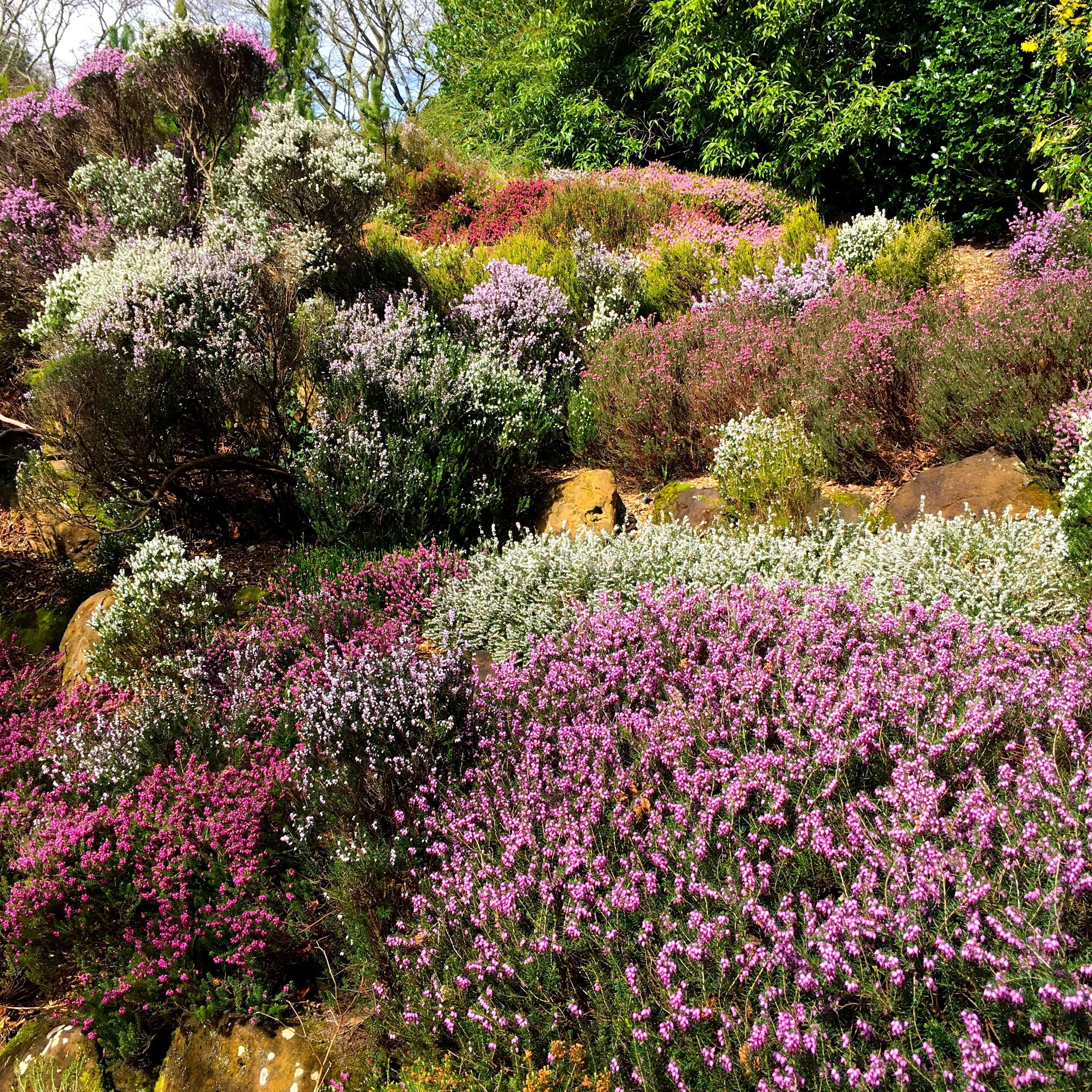 waves upon waves of heather at Compton Acres in Poole