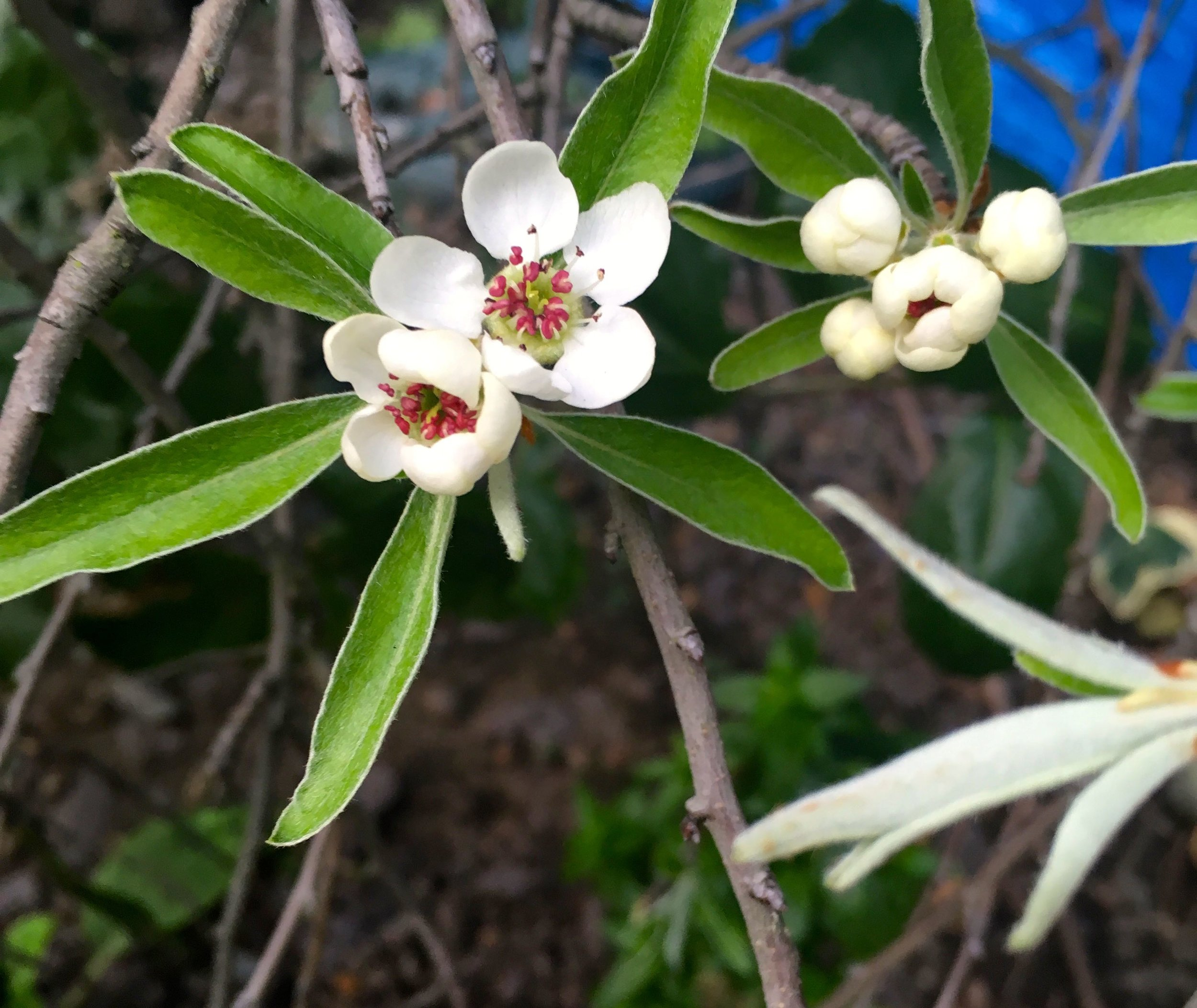 Flowers on the willow pear bush