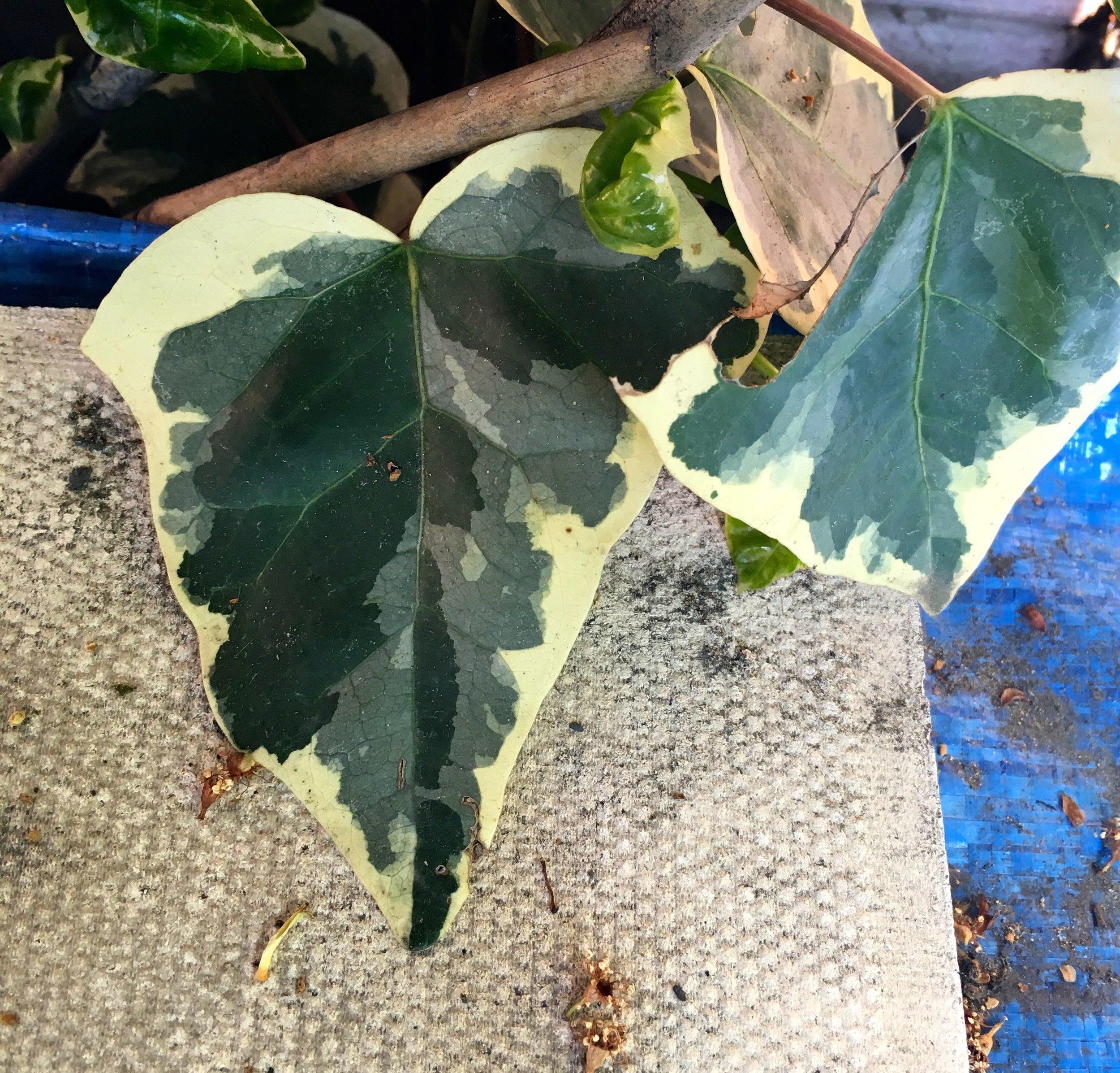 varigated ivy