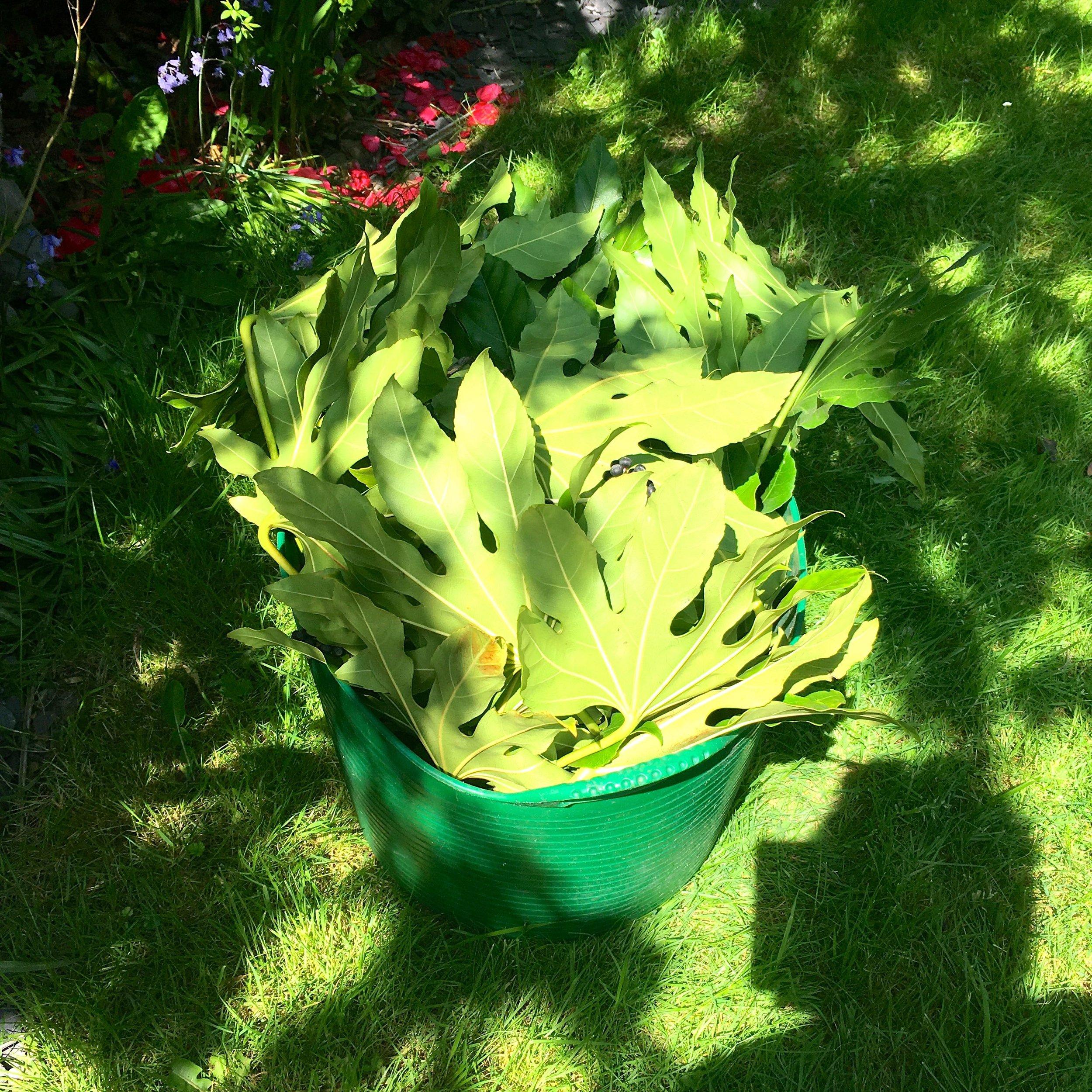 A pile of fatsia leaves