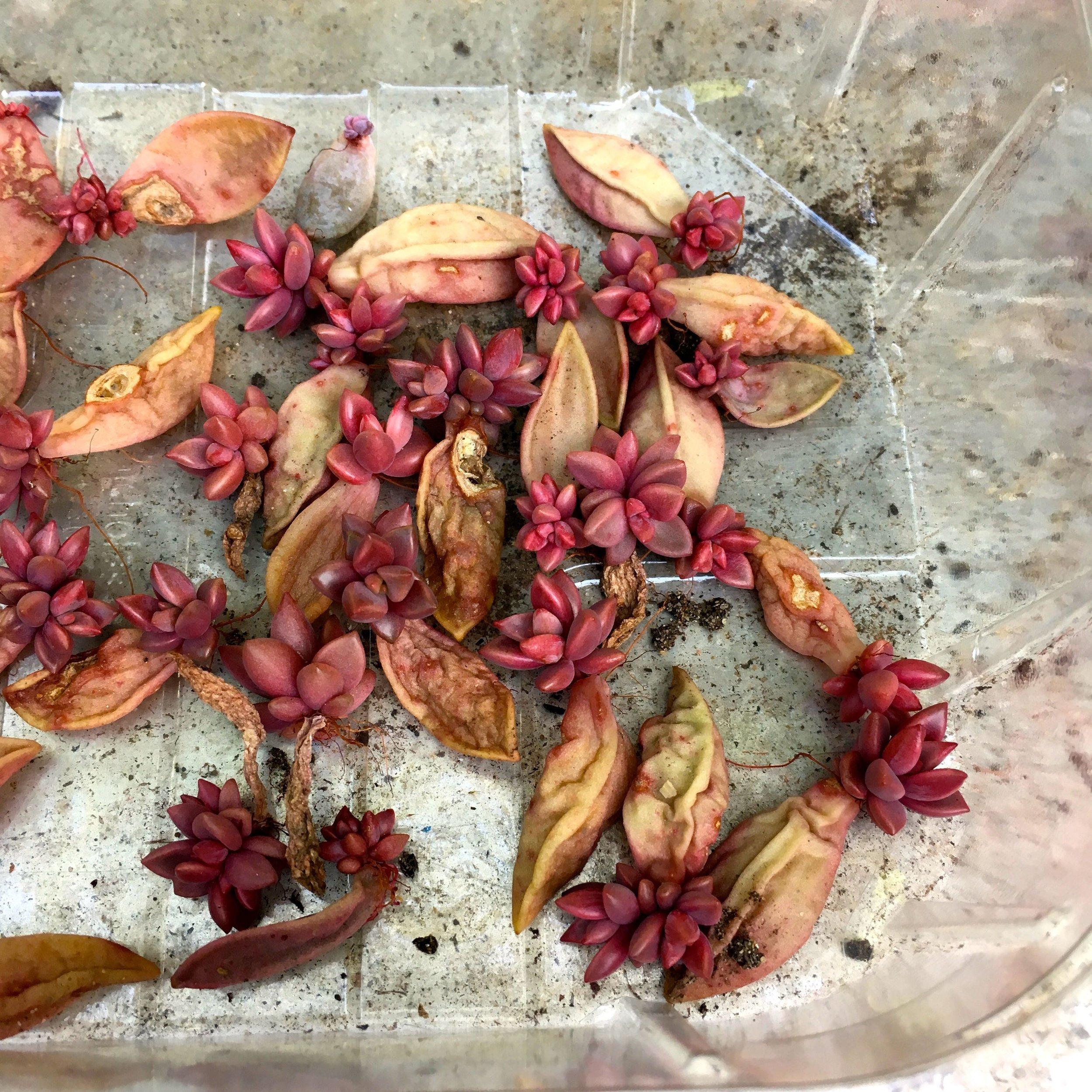 pink succulent babies