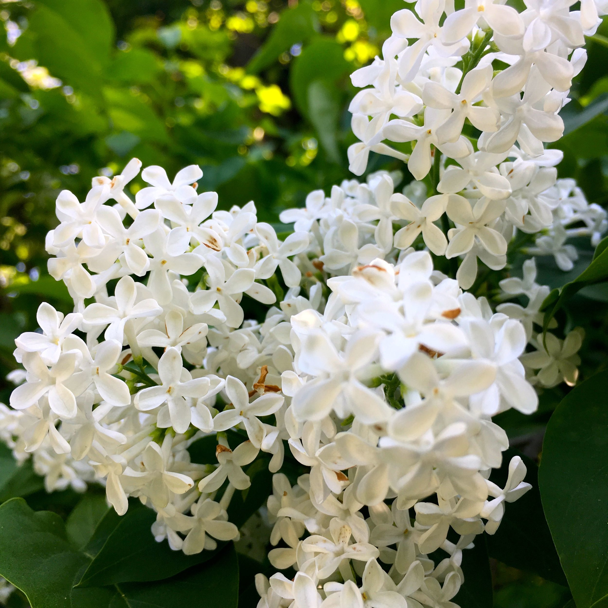 plenty of flowers - and fragrance - from the lilac