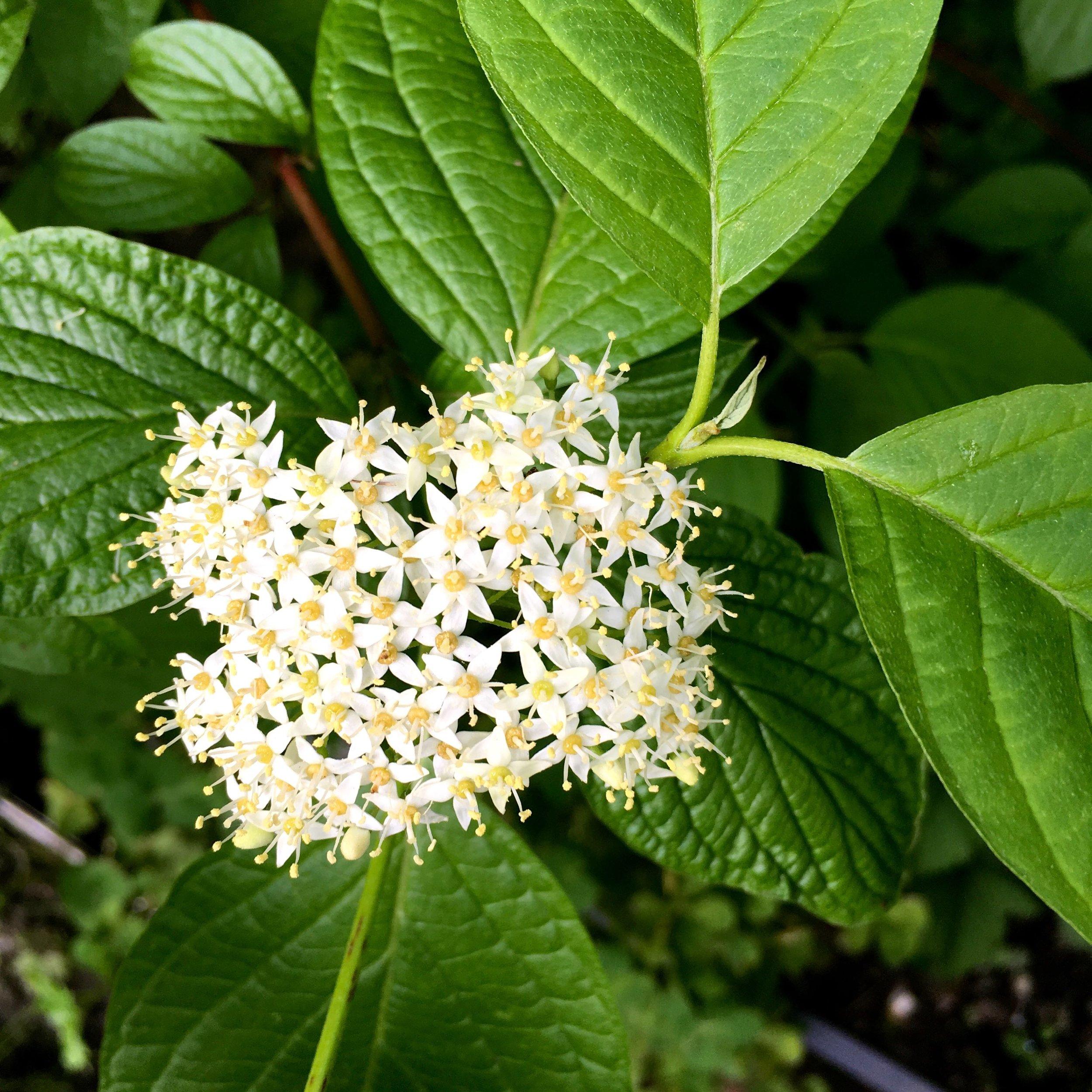dogwood flowers too