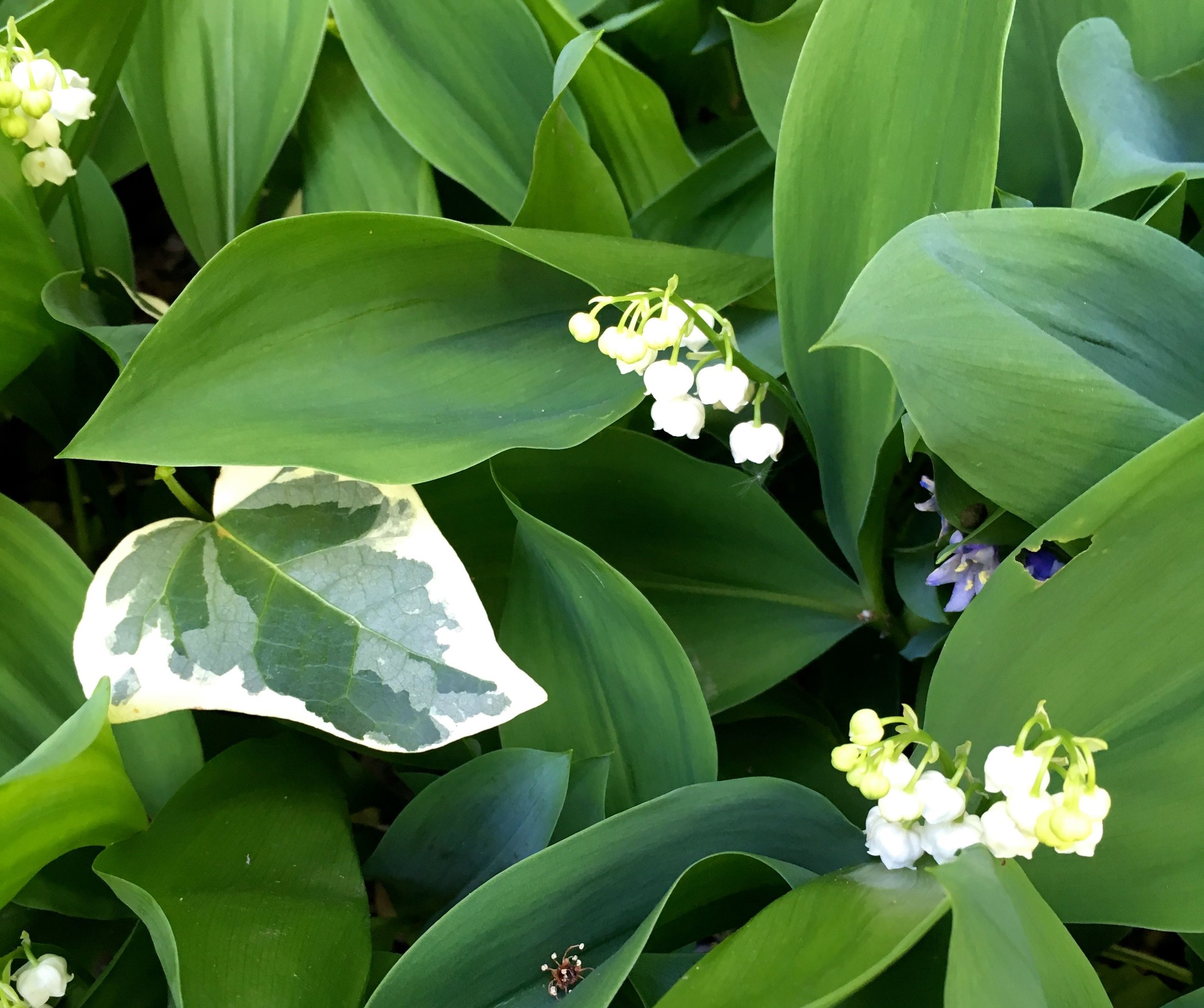 lily of the valley and variegated ivy