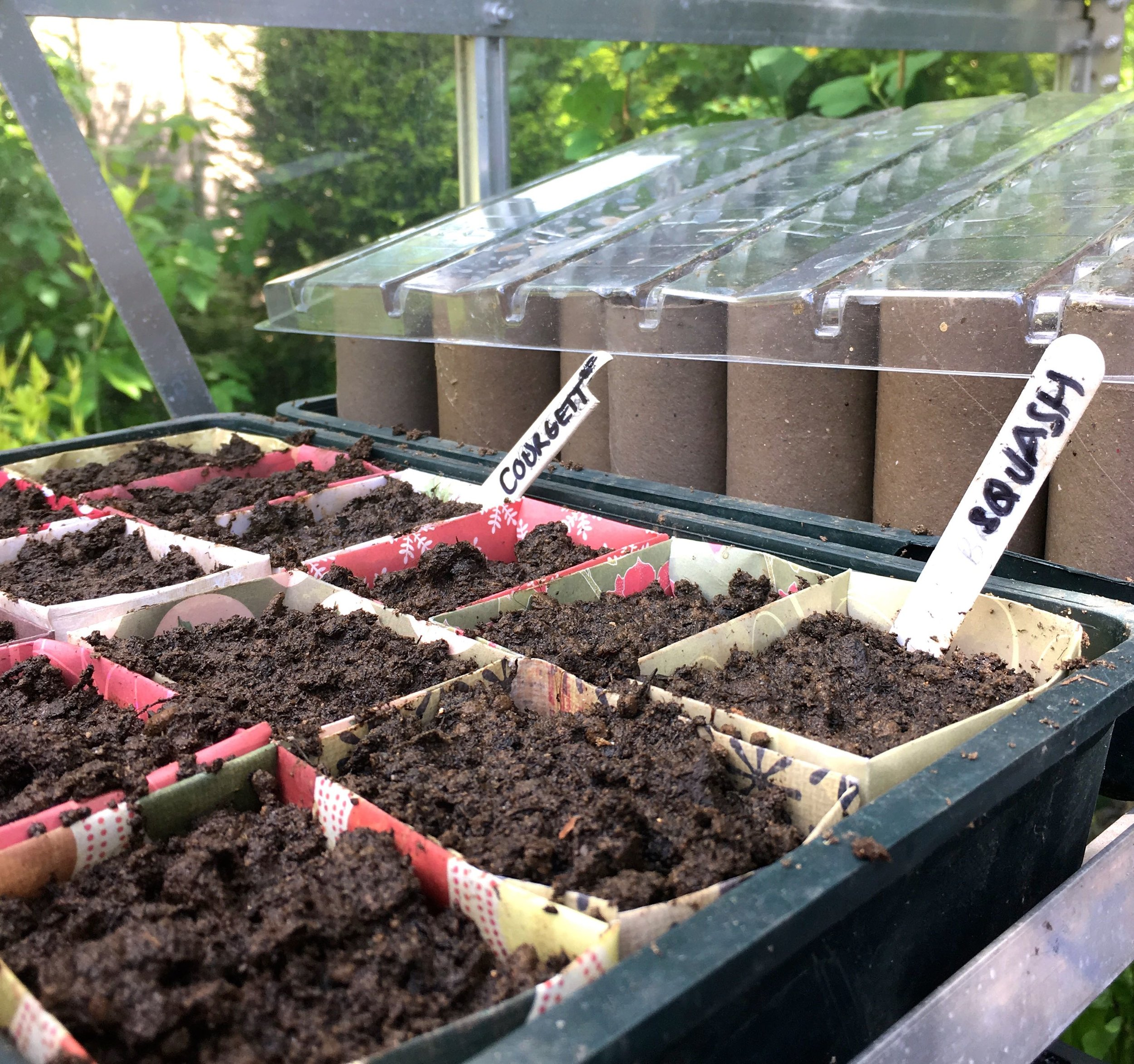courgettes, squash and beans sown in the greenhouse