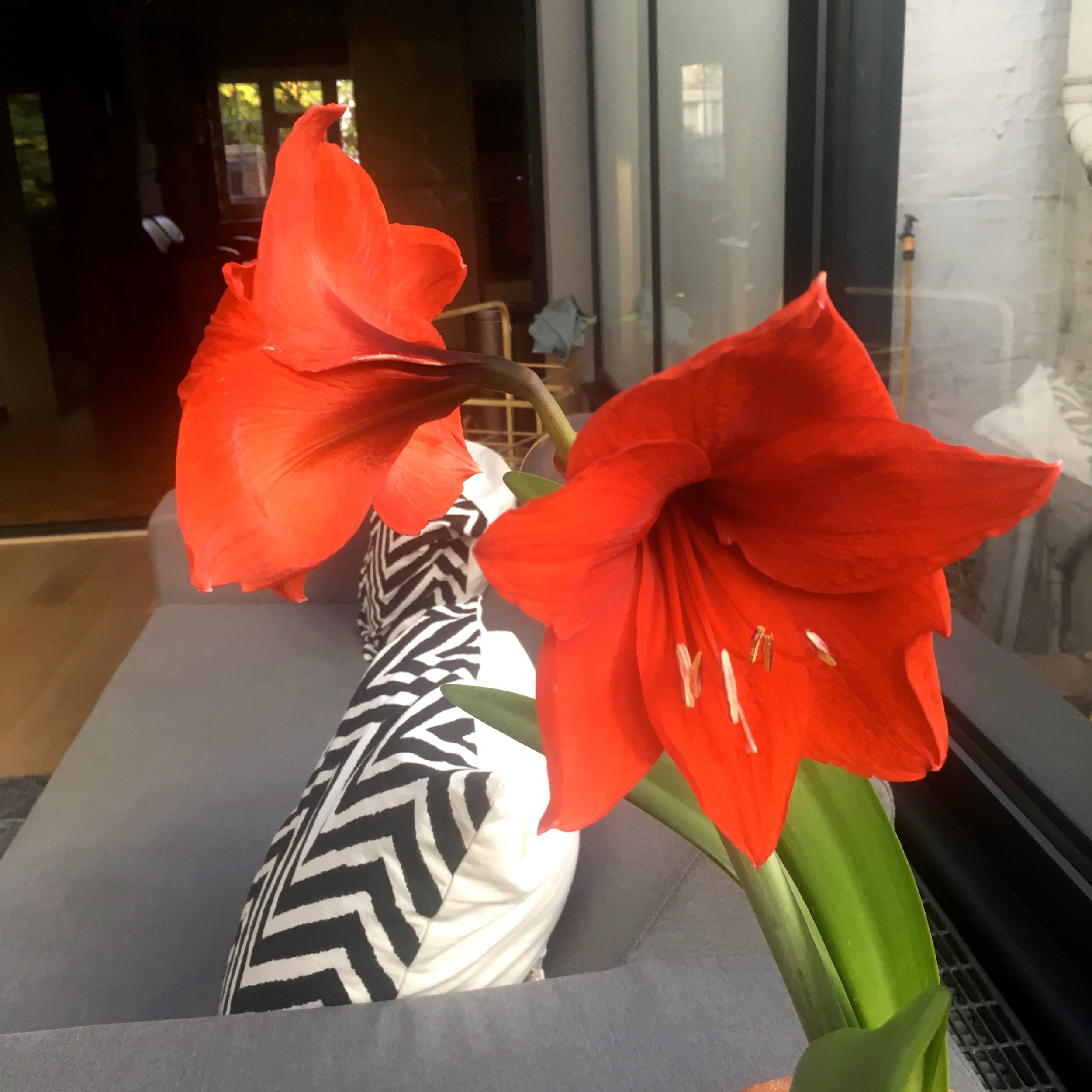 Two flowers flowering on my amaryllis from dad