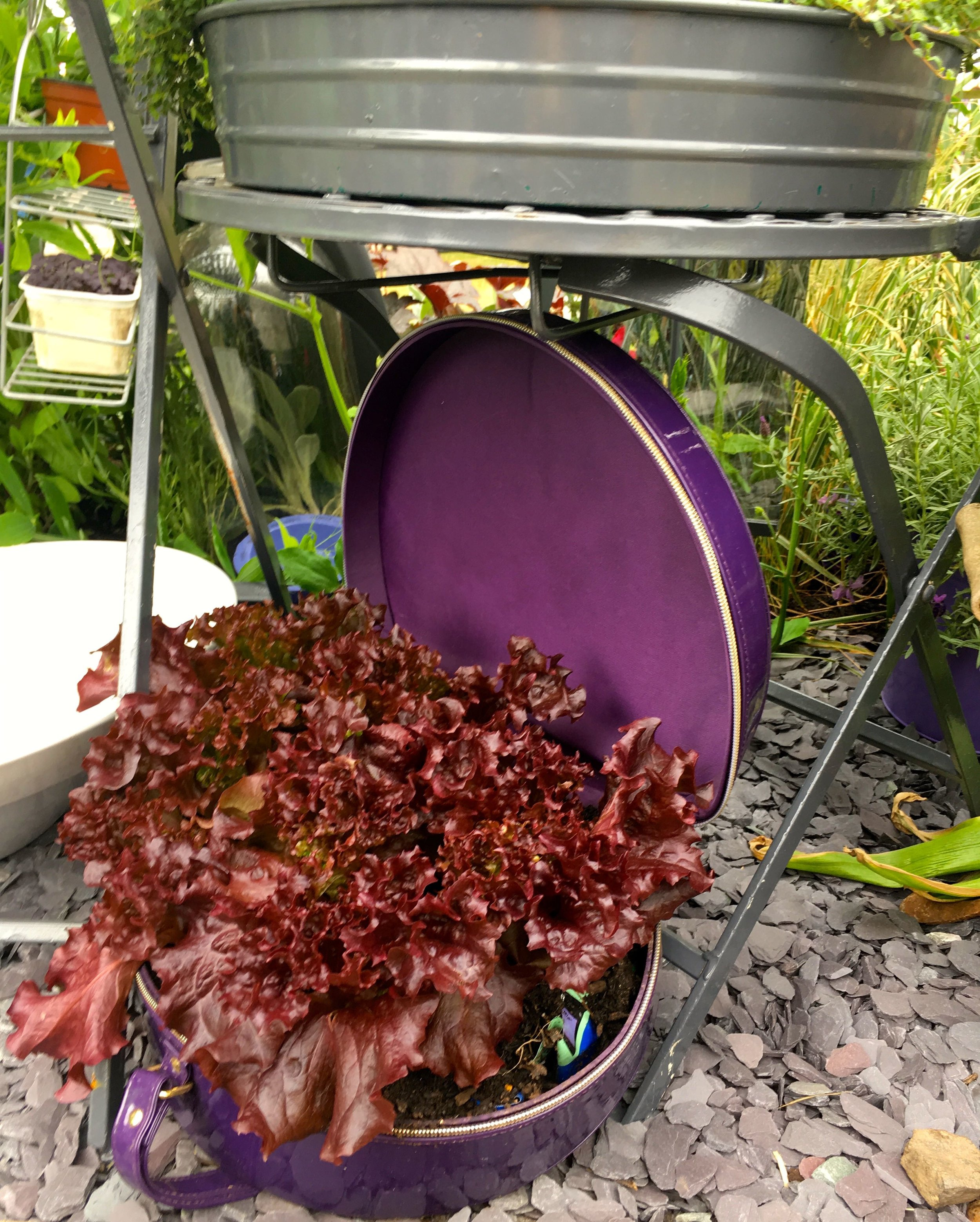 A case for the purple lettuce