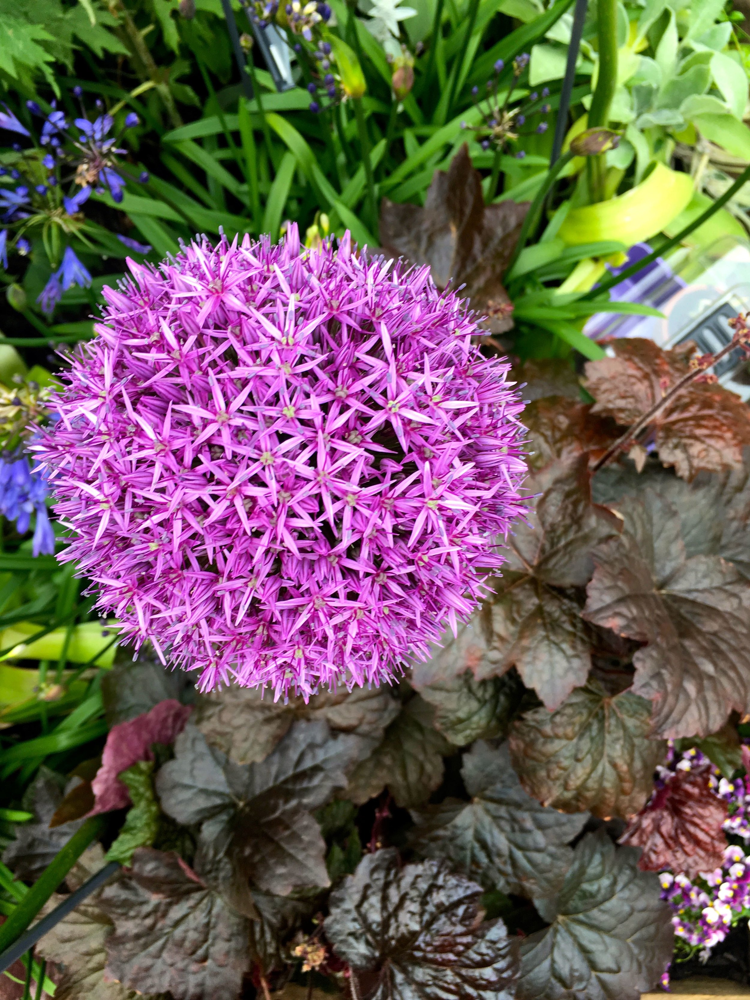the vibrancy of an allium against the dark leaves of the heuchera
