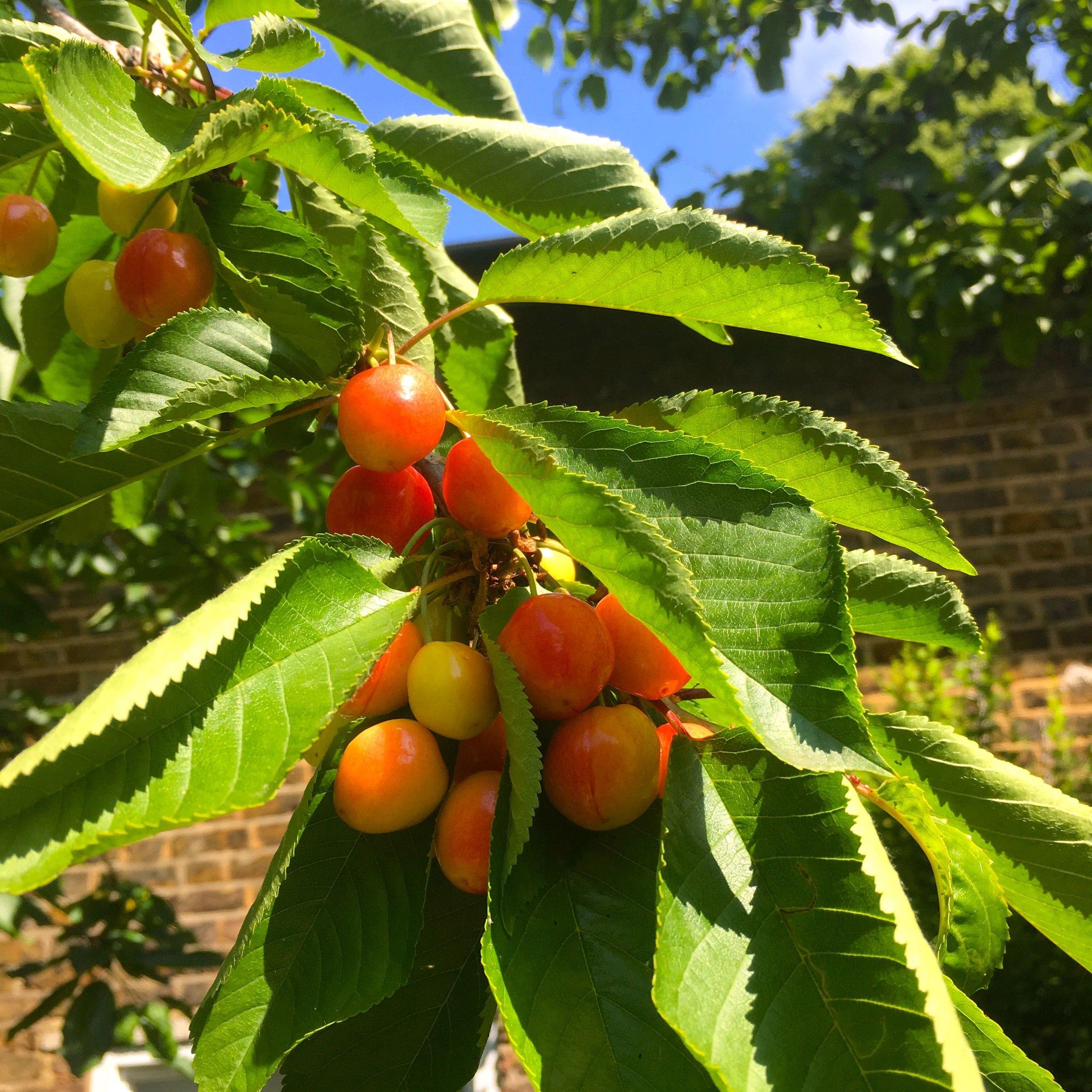 cherries in our garden
