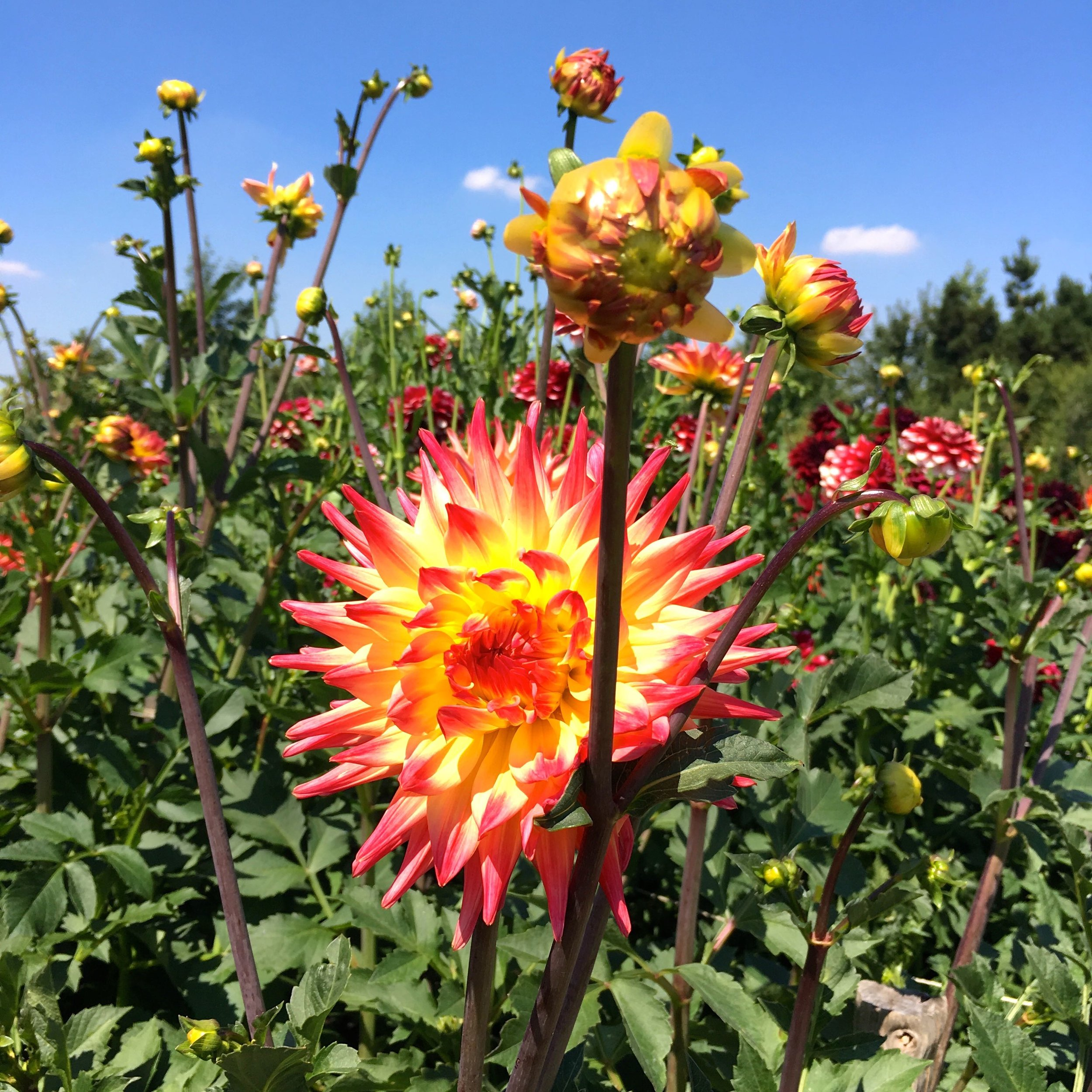 falling in love with dahlias at RHS hyde hall
