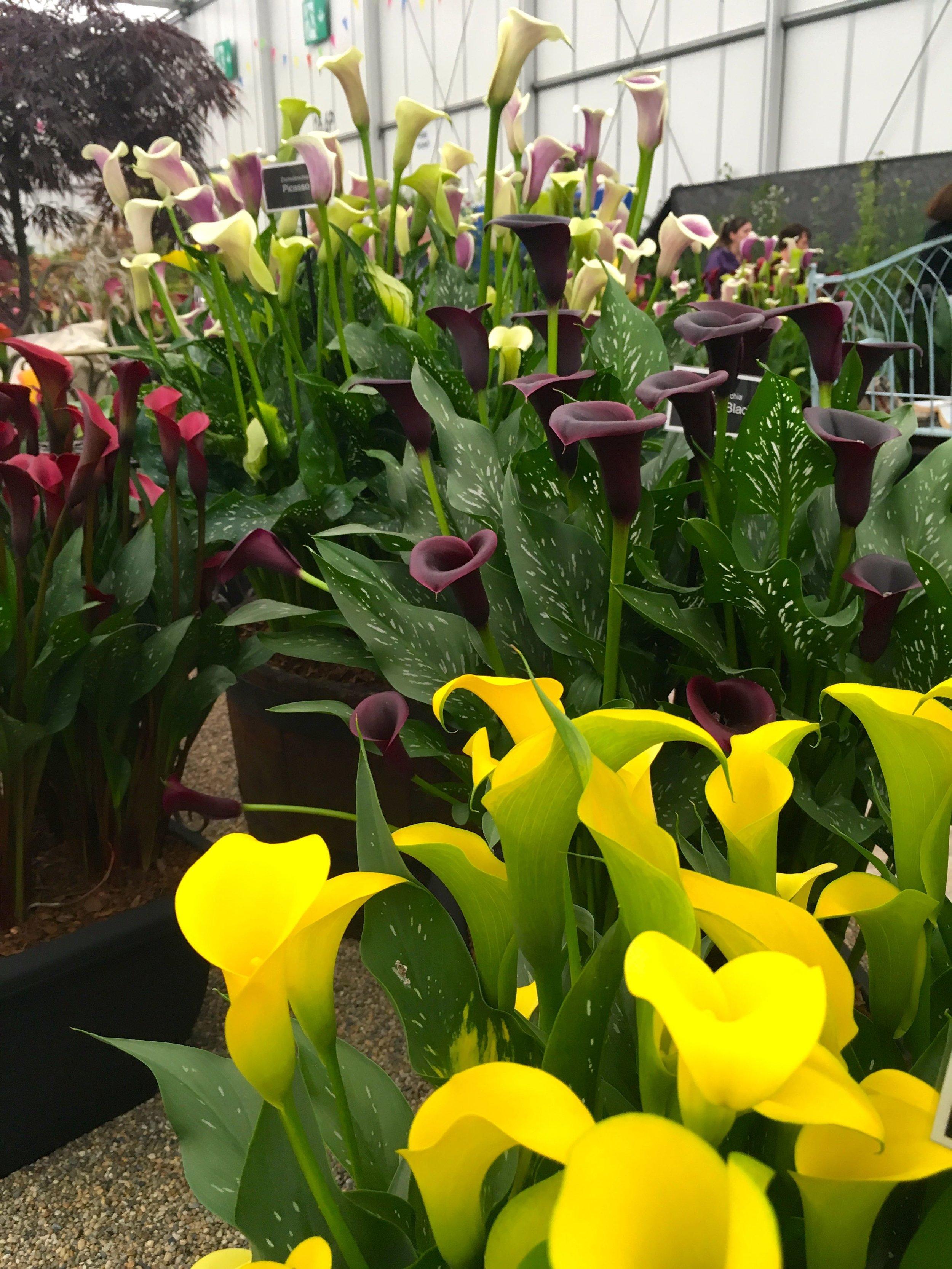 zantedeschia or Calla Lily in every colour