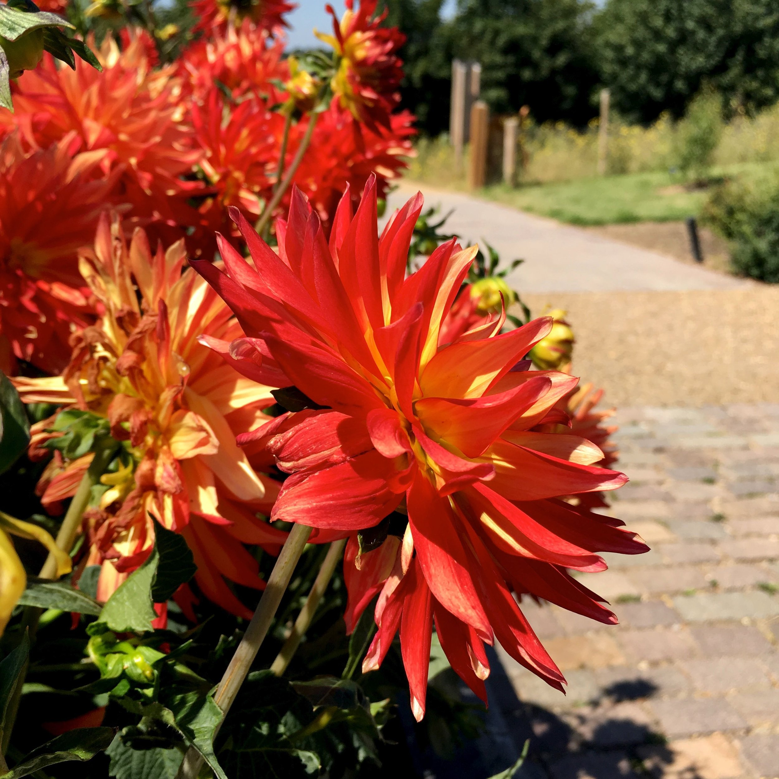 flame coloured dahlias in essex at rhs hyde hall