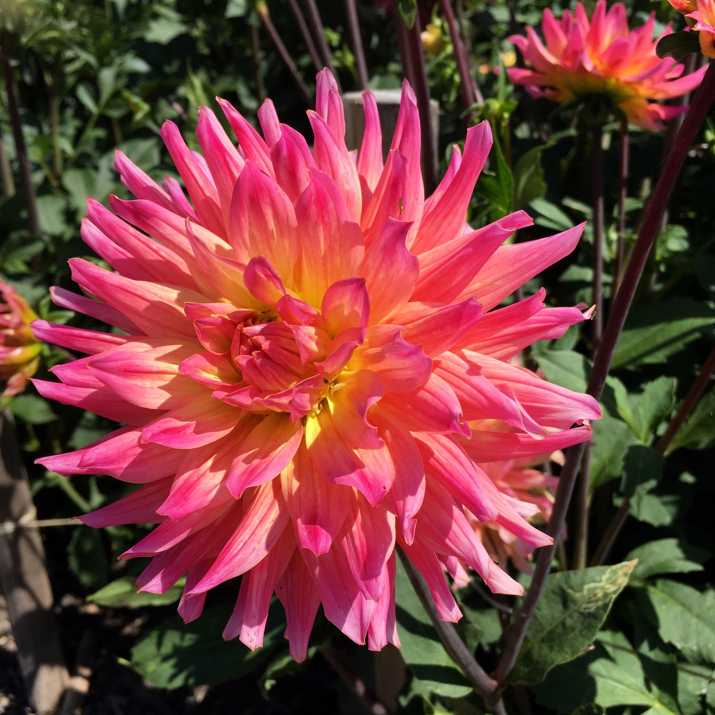 A pink version of the vibrant dahlias at rhs hyde hall in essex