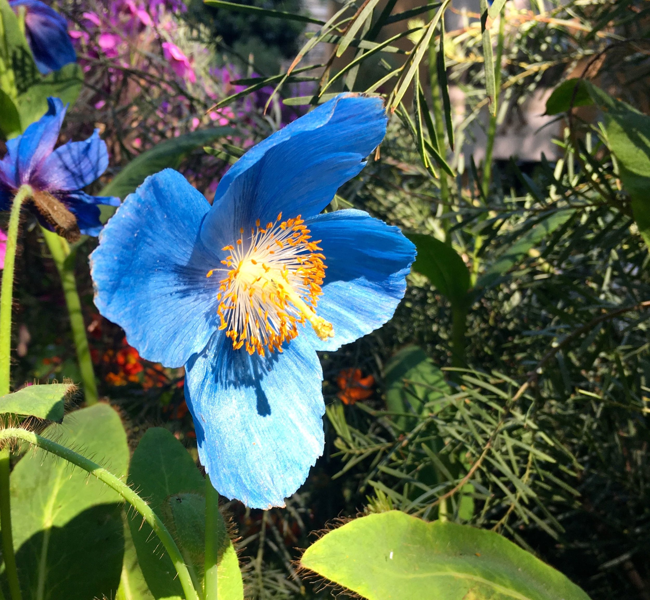 blue Mecanopsis or Himalayan poppies in the British Council garden