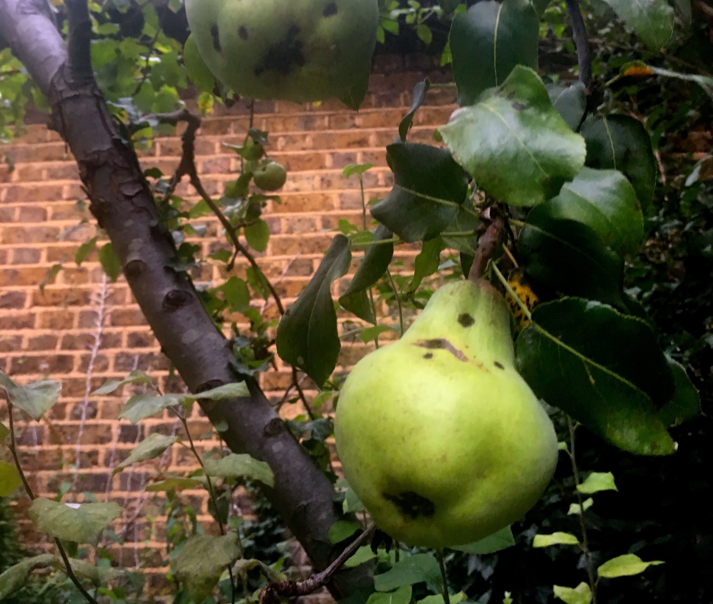 One of the pears