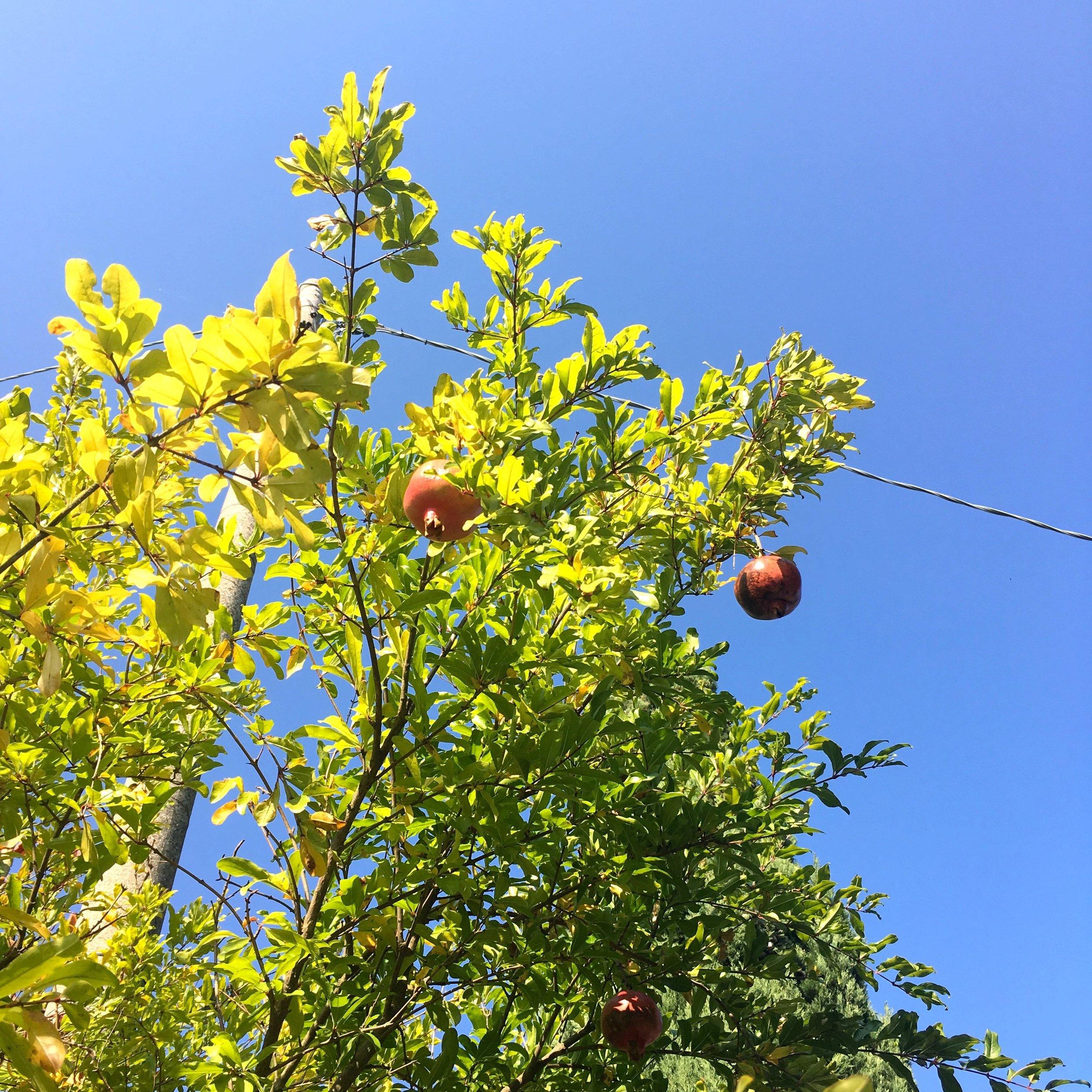 pomegranates growing in the Italian gardens