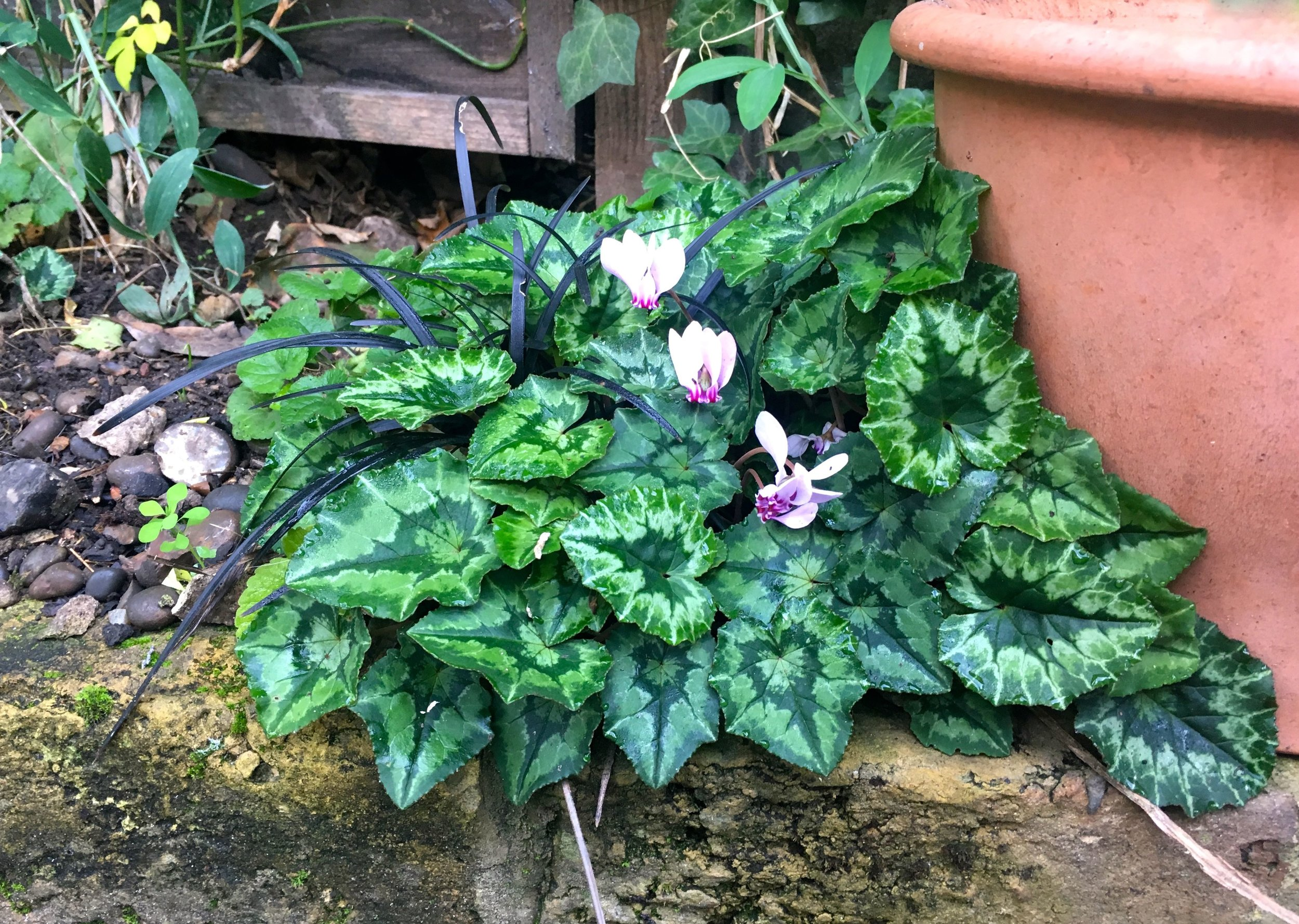 cyclamen in flower and more bountiful than I remember