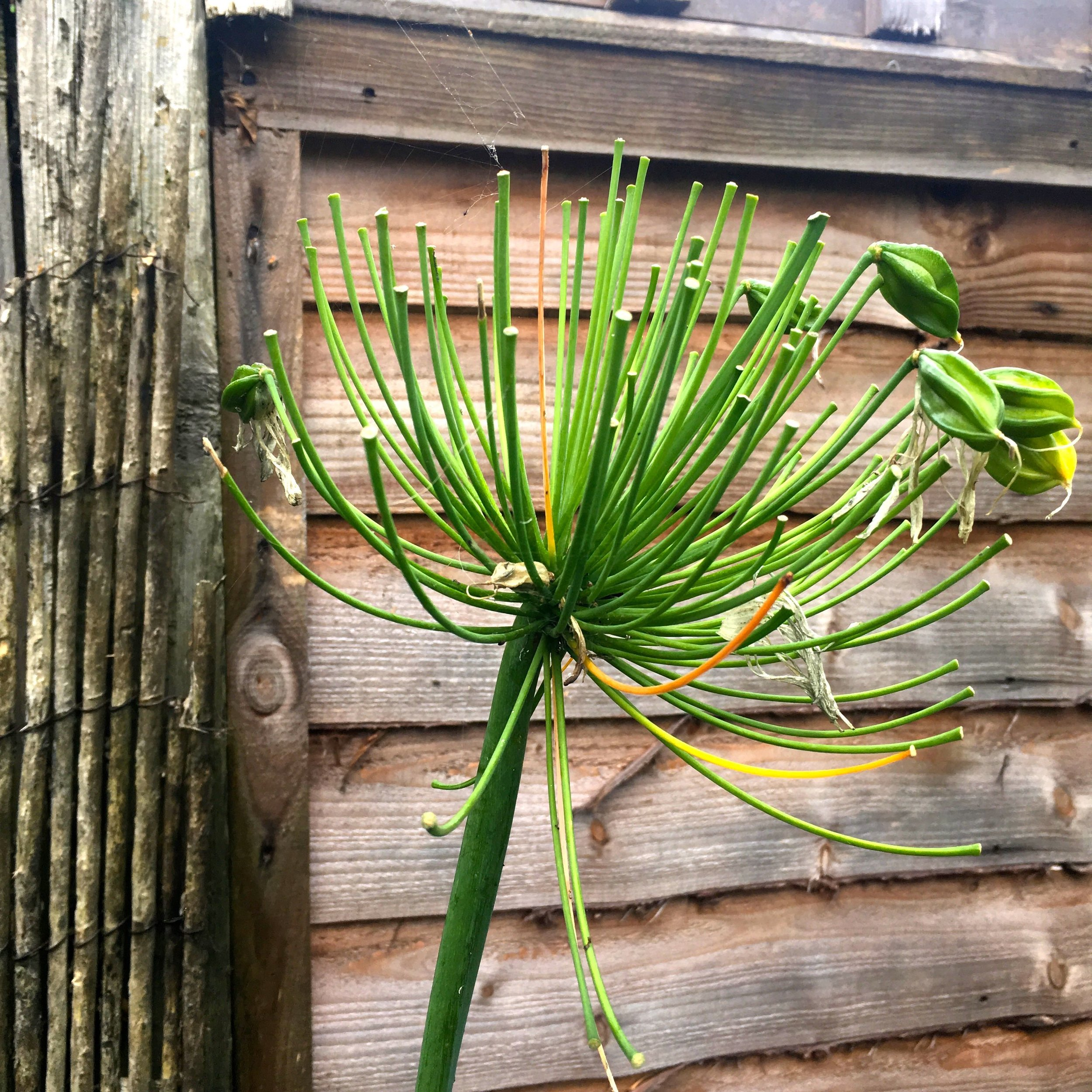 The agapanthus still providing structure