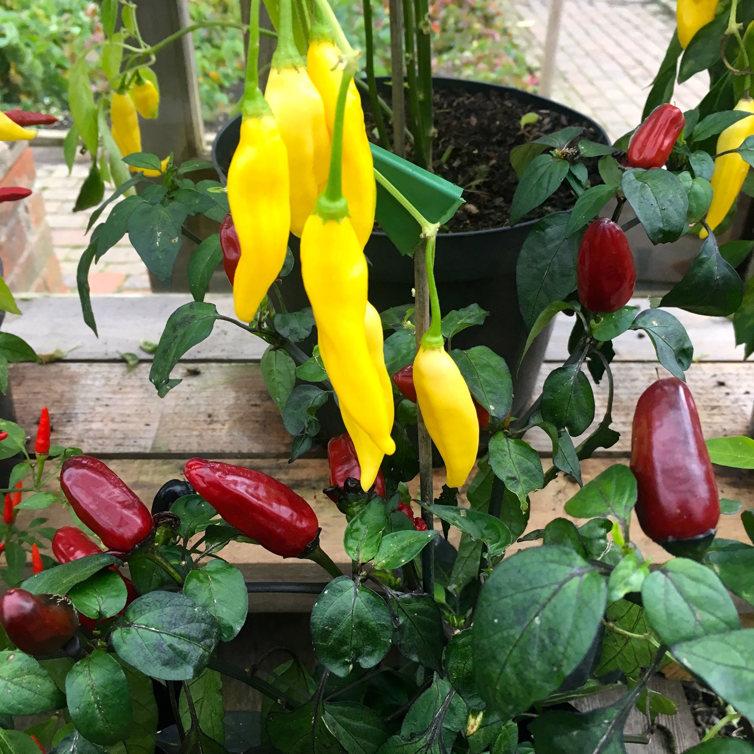 chillies in the greenhouse at rhs rosemoor